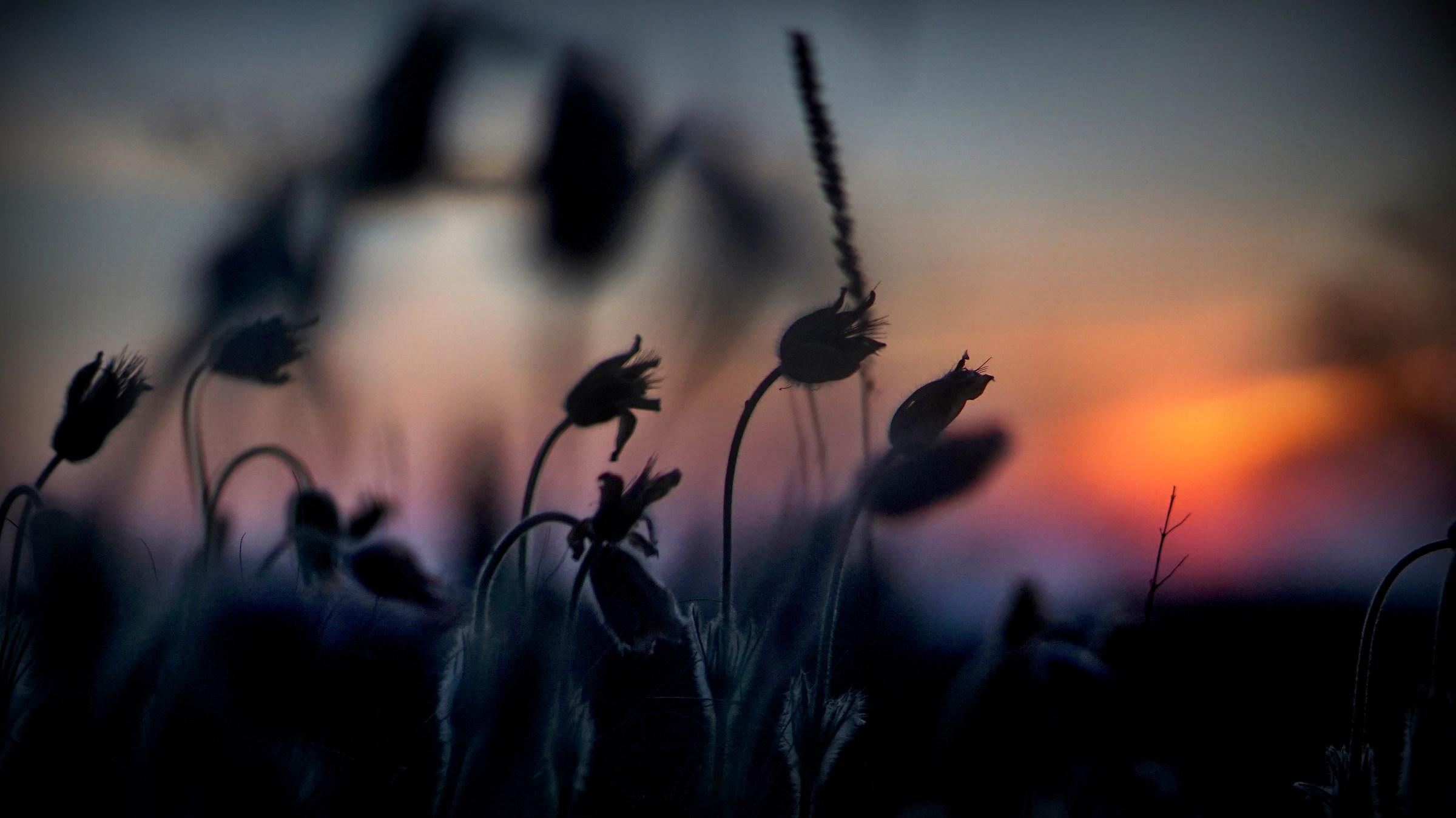 Dawn with pasquflowers....