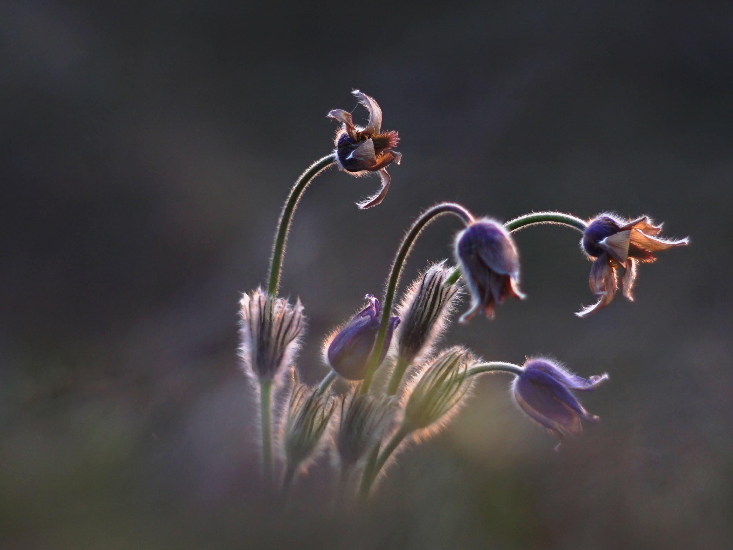 Pasqueflowers...