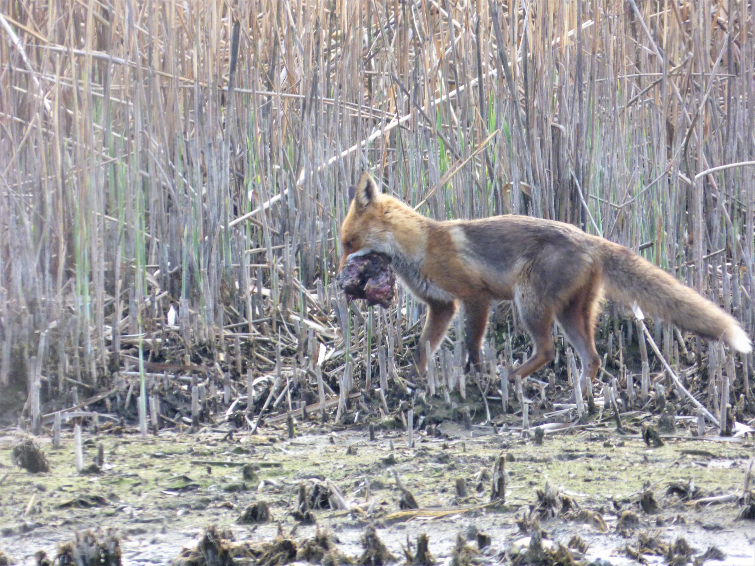 Fox with prey...