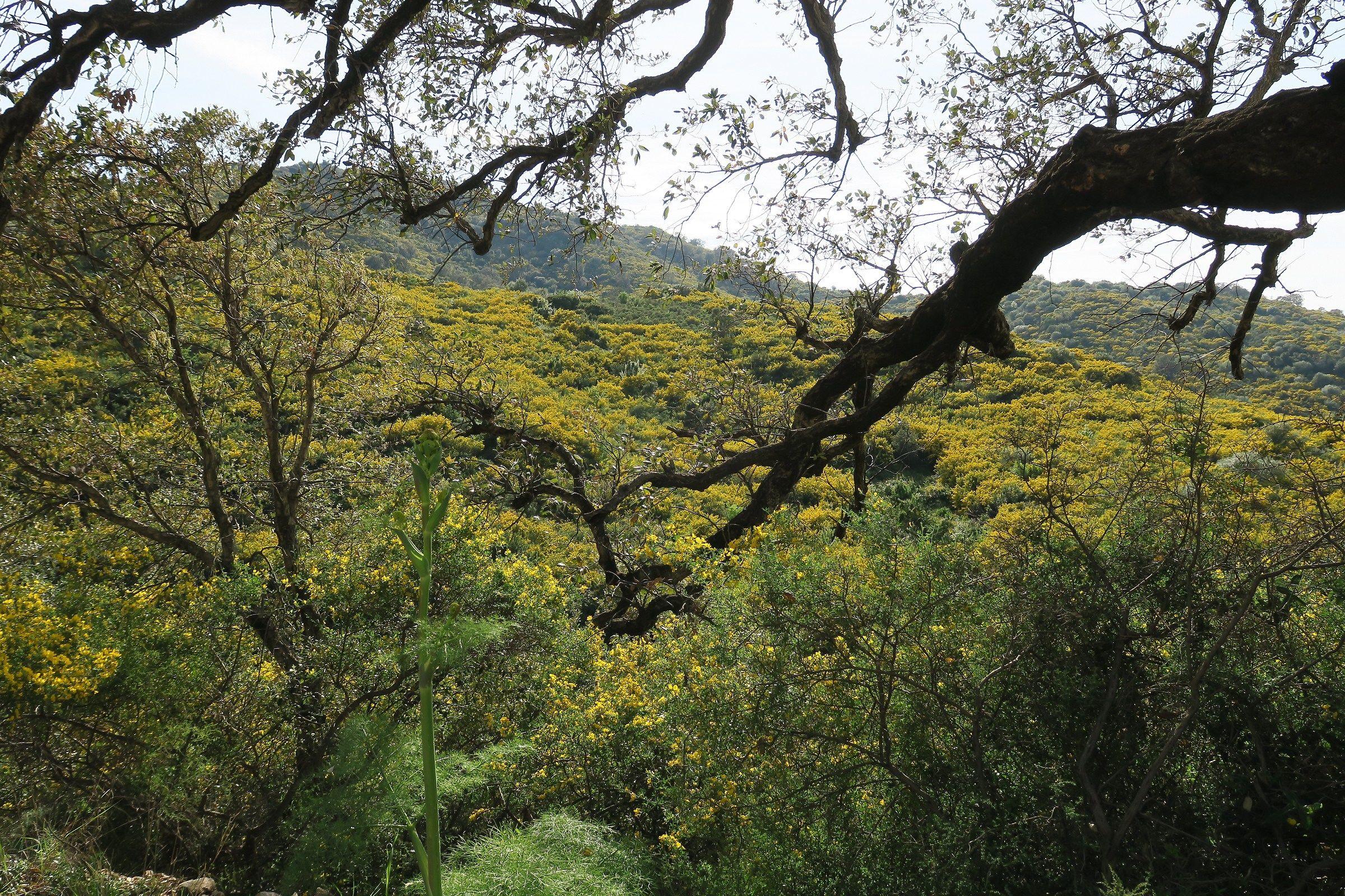 Colline ricoperte da Ginestre in fiore...