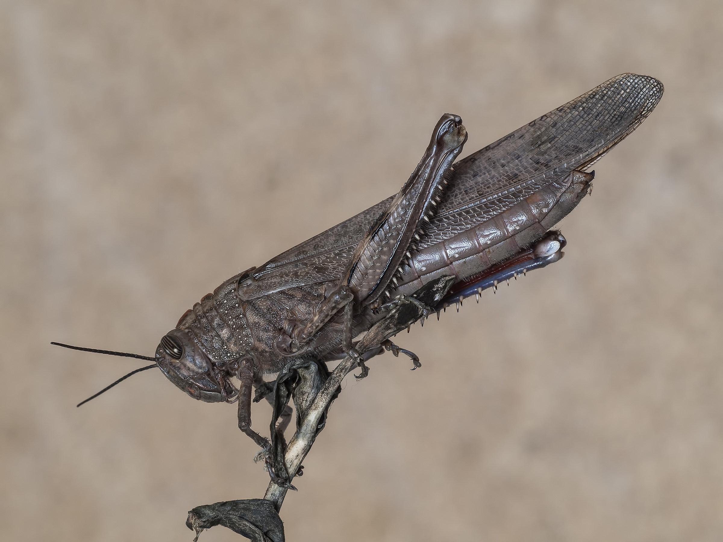 locust...