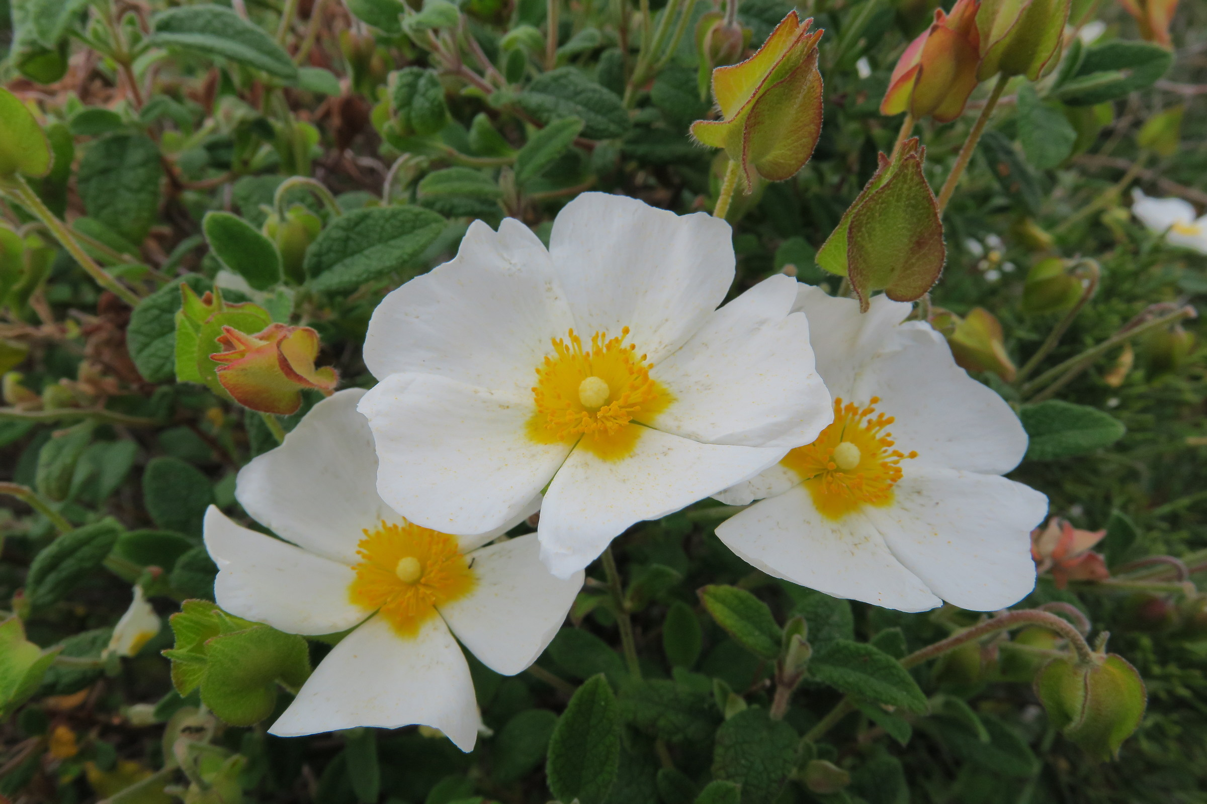fiori di Cisto...