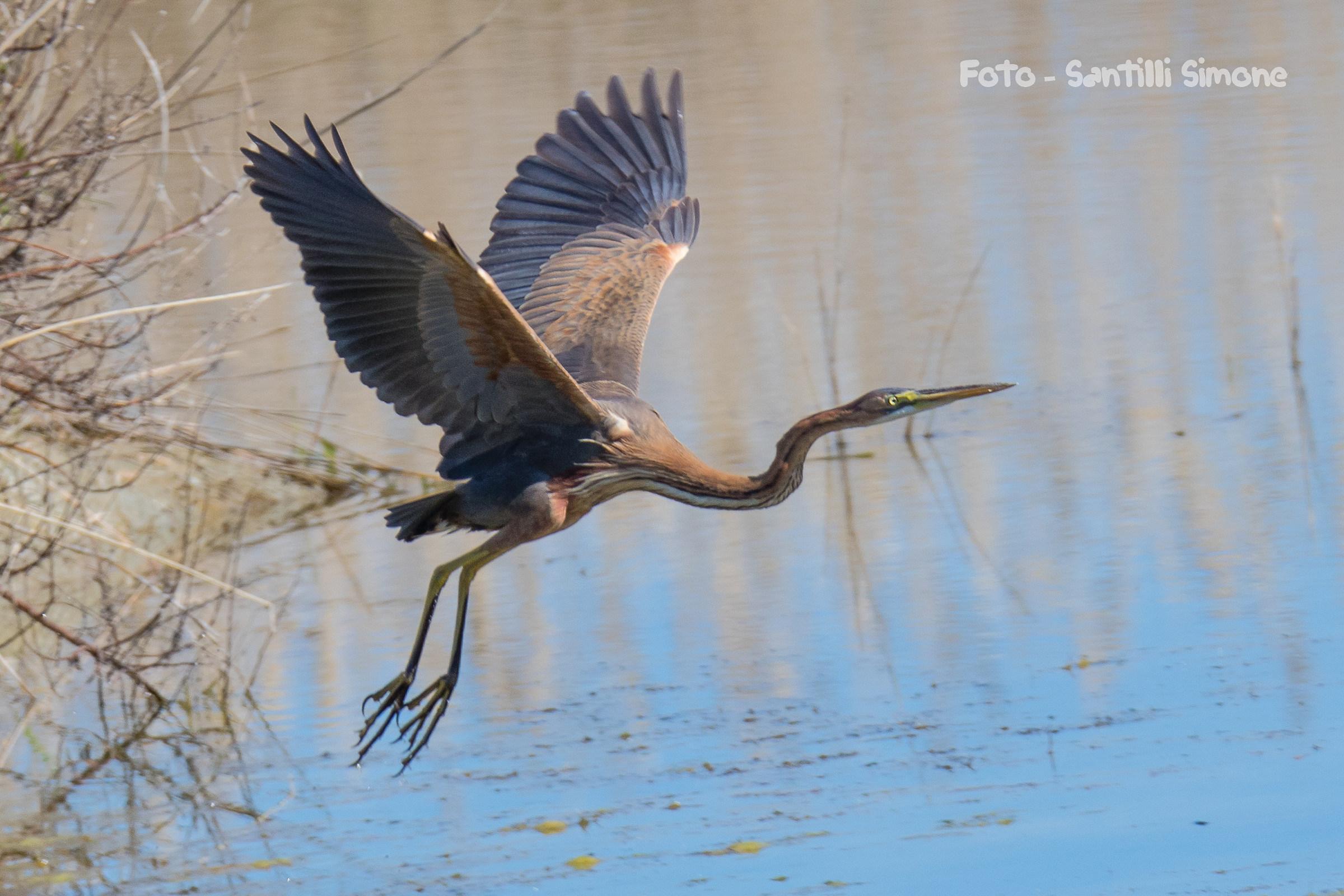 Purple Heron in flight...