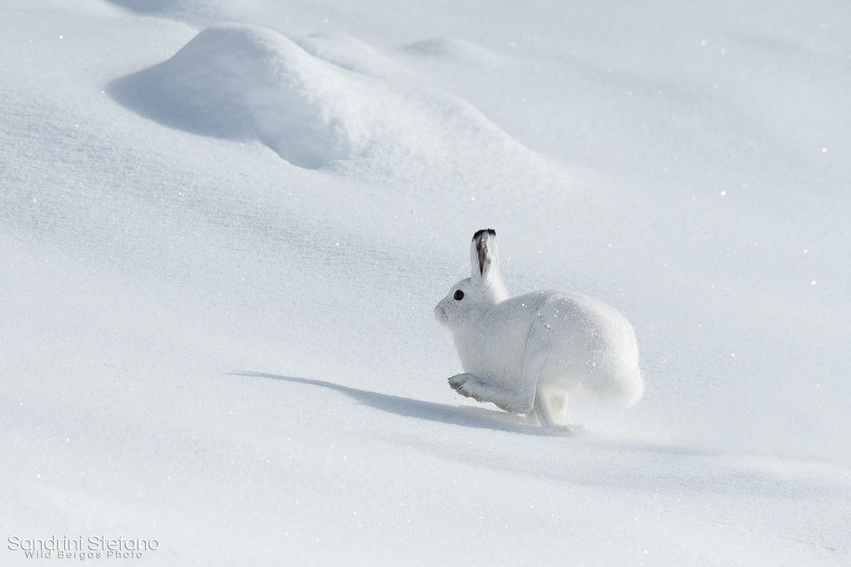 SnowRabbit don't come easy...