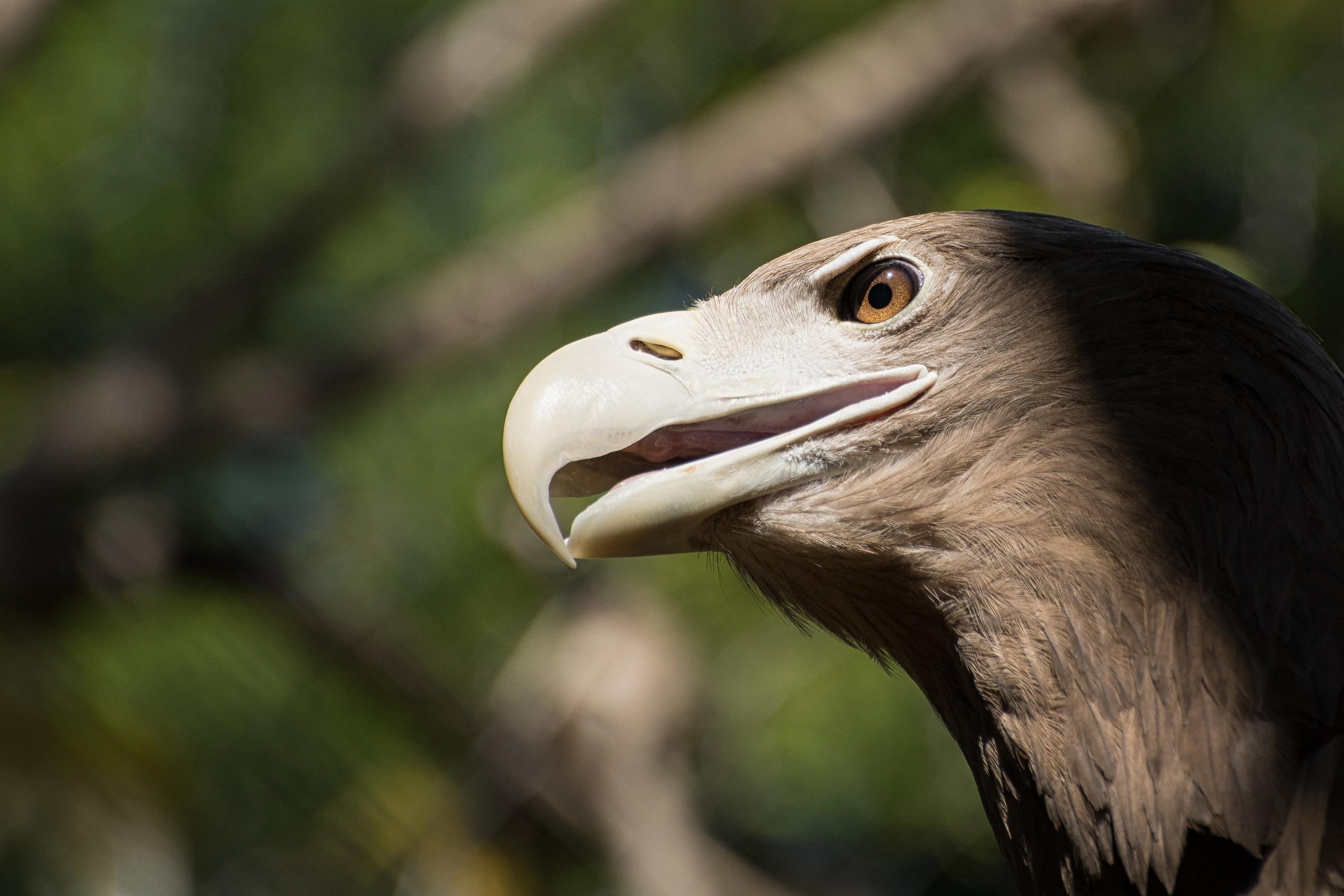 Golden Eagle...