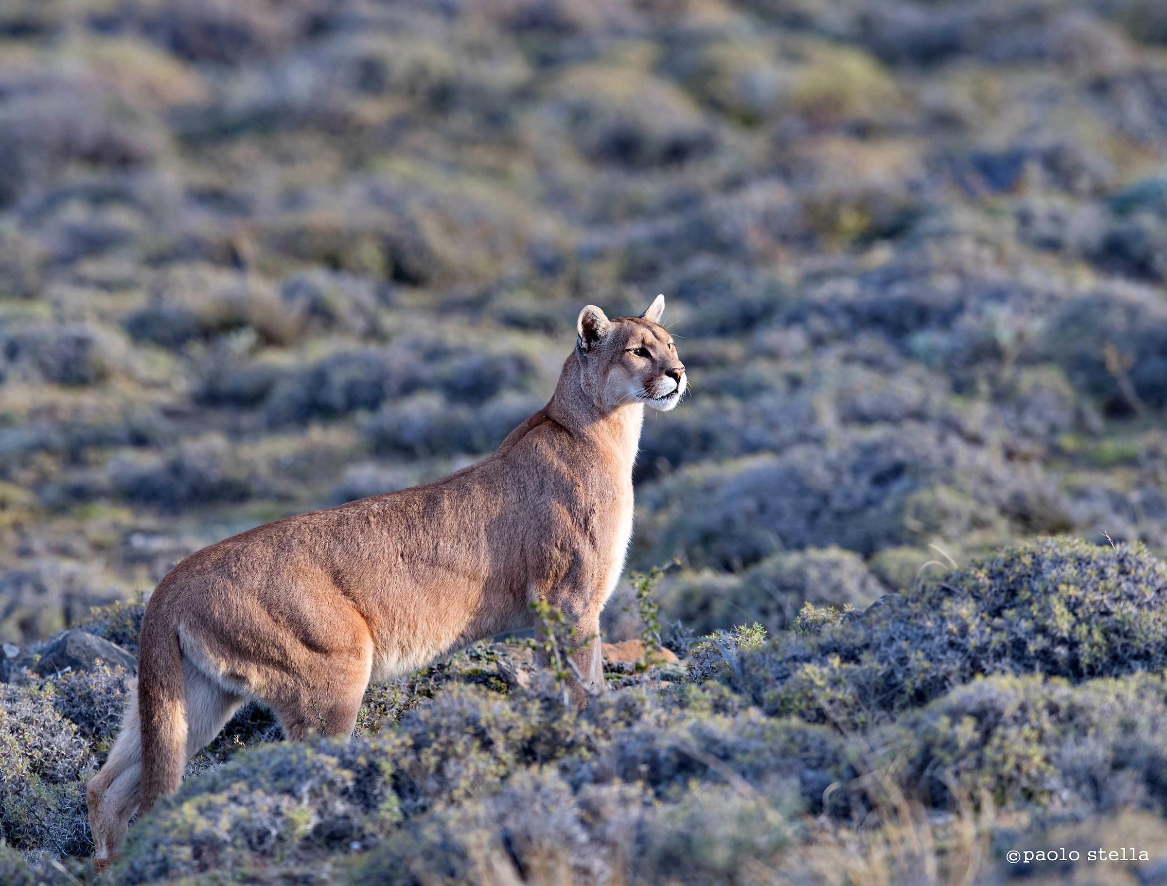 Il Puma, il predatore delle Ande...