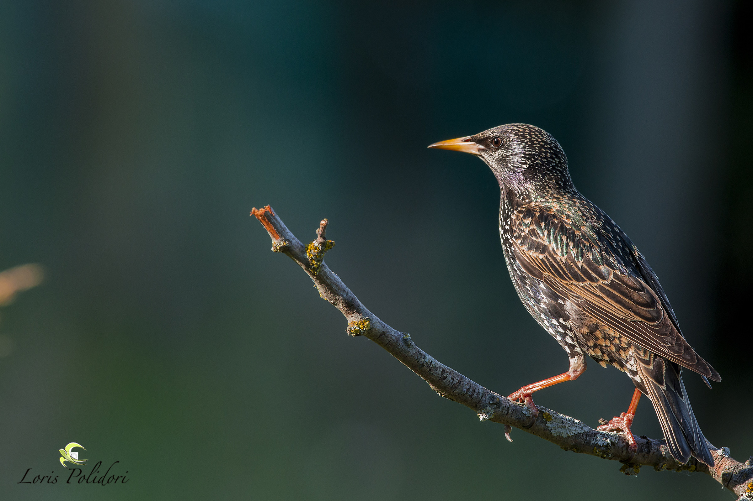 a starling...