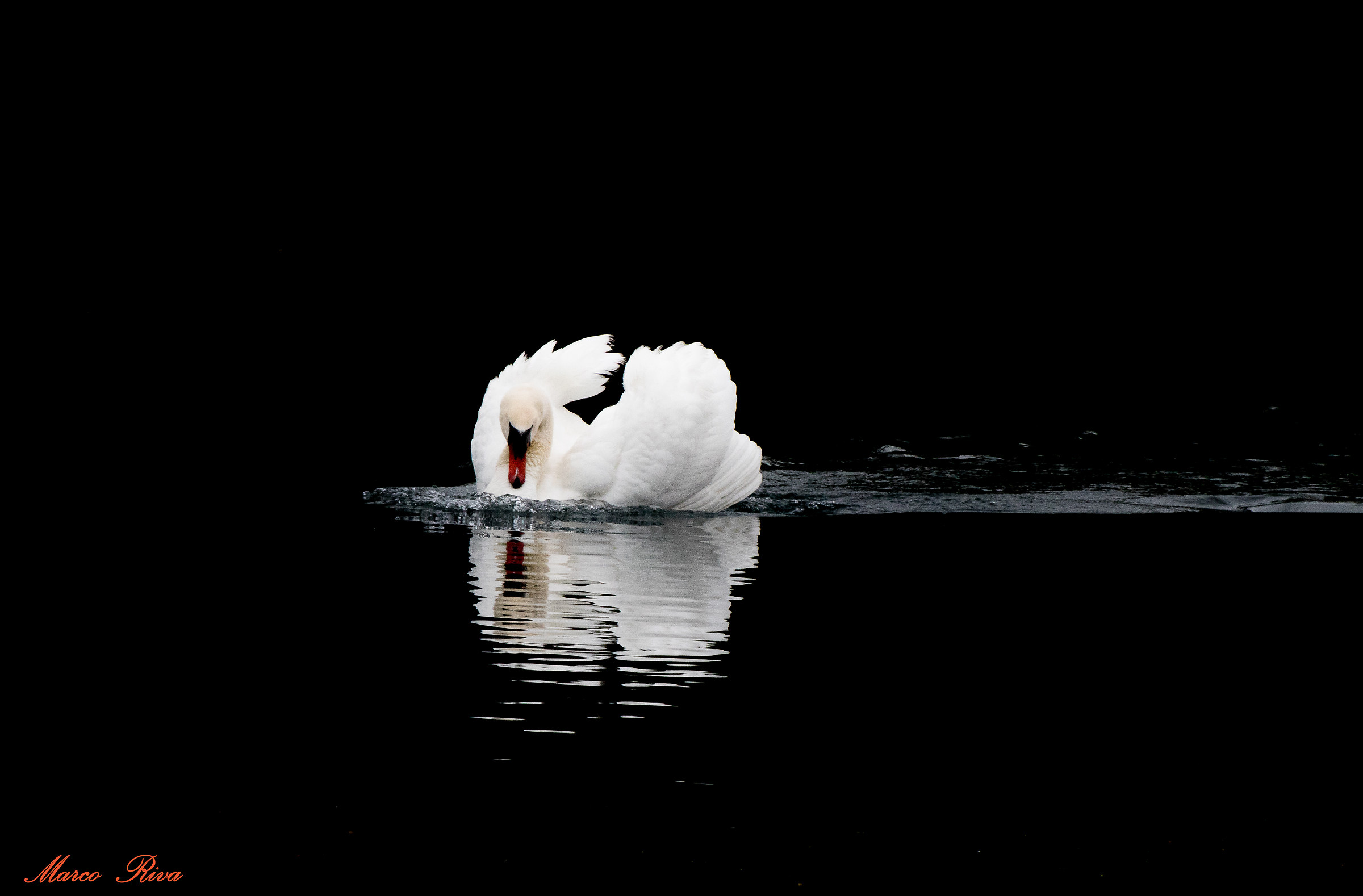 Swan reflection...