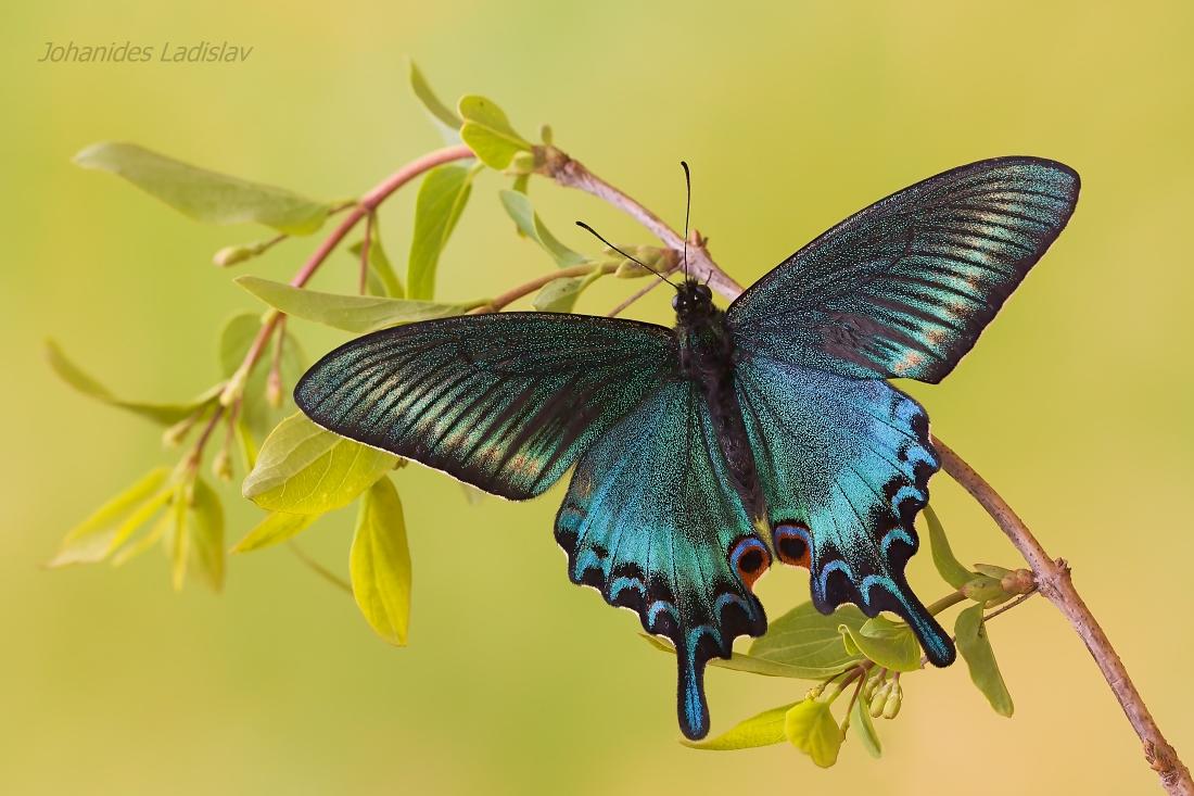 Papilio maackii...