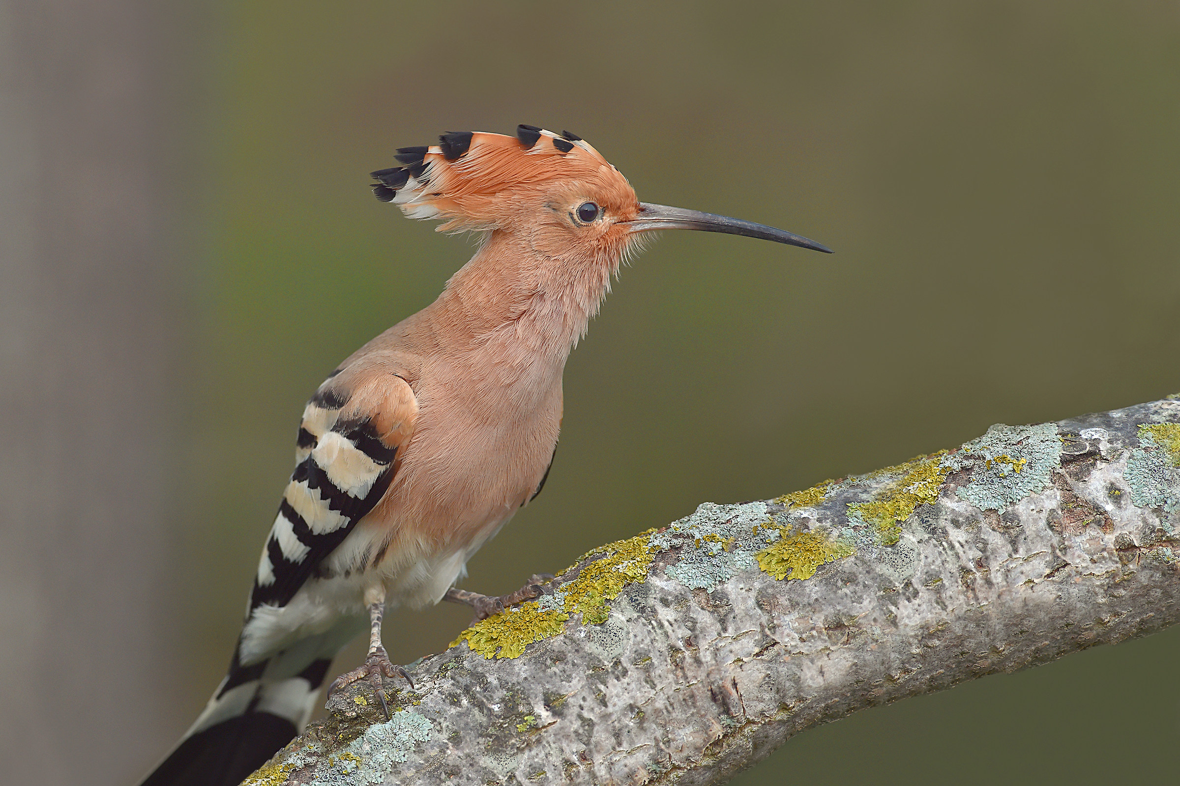 Stories of feathers 5 (Hoopoe)...
