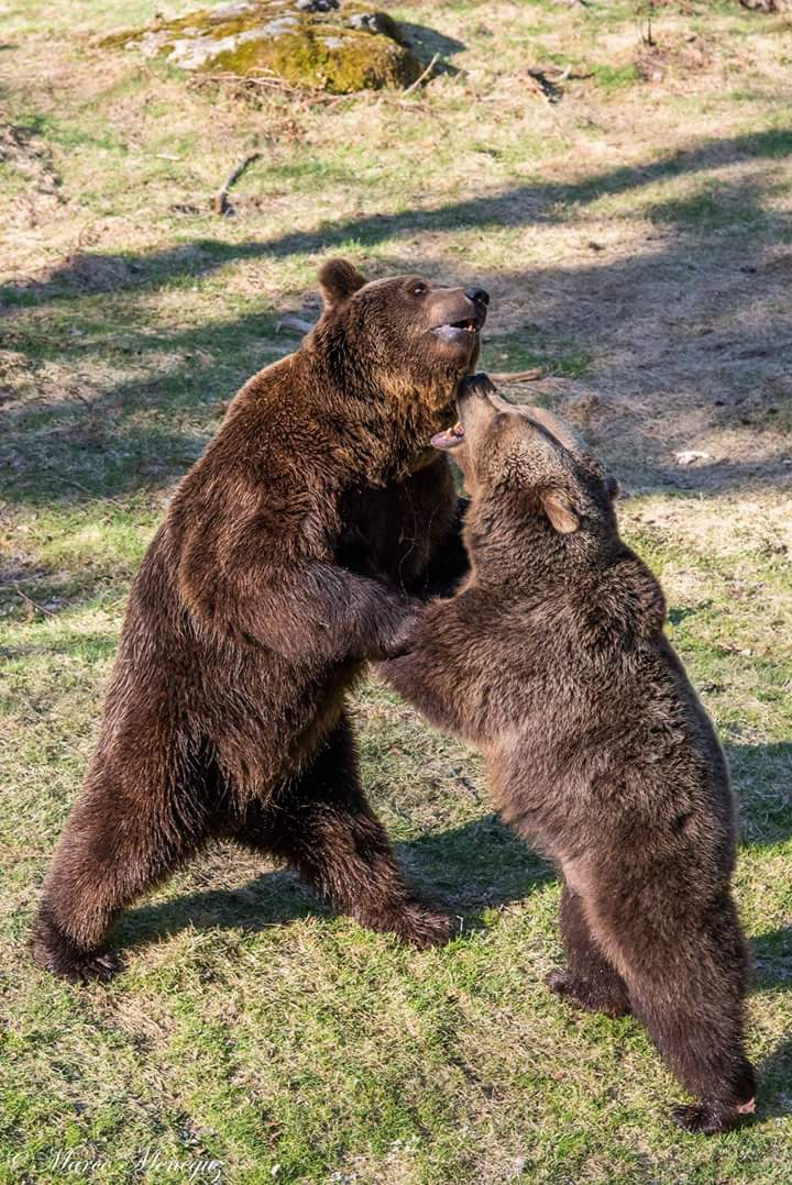 Brown bear in the fight...