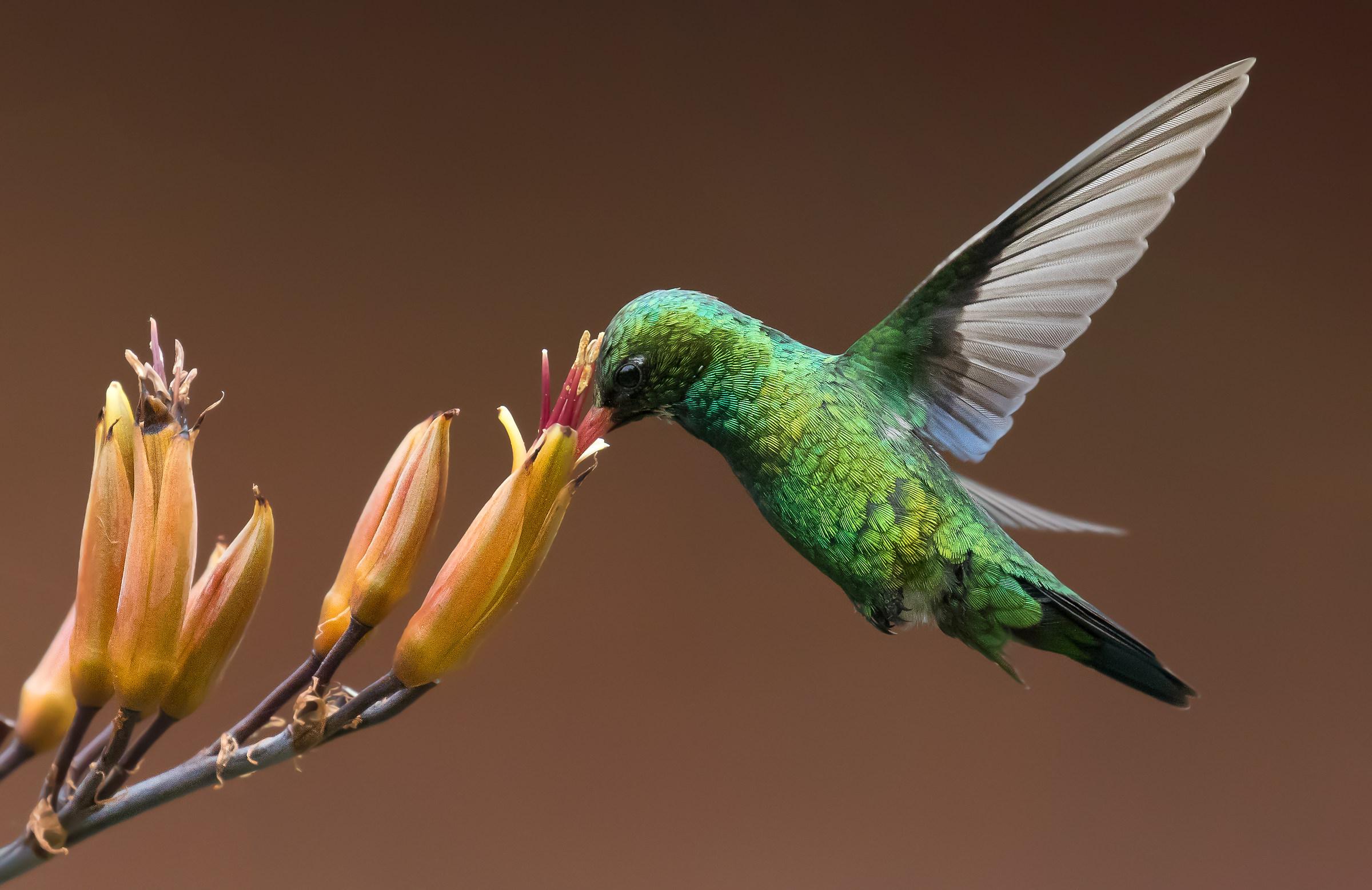 Colibri...