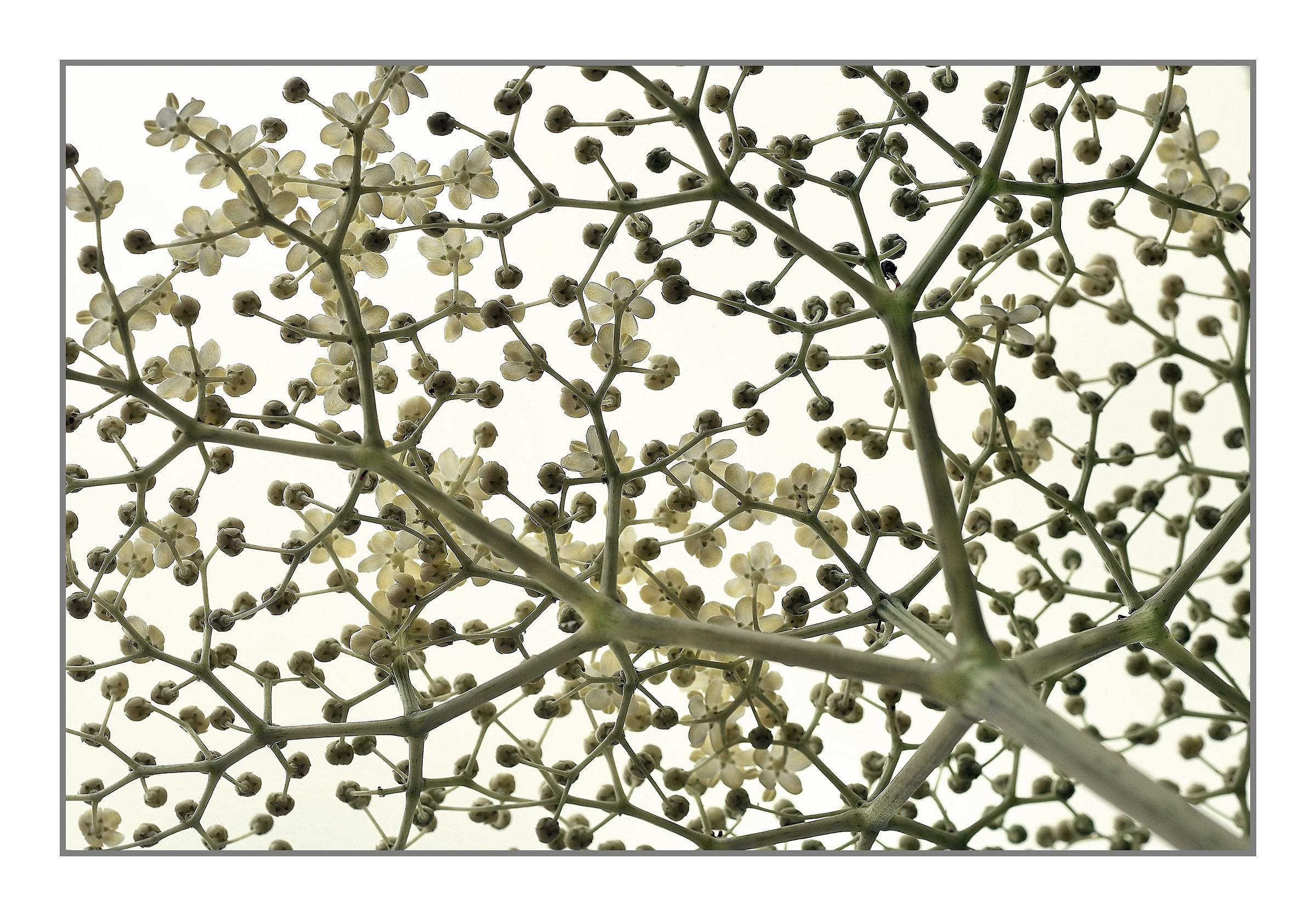 fiore di sambuco...