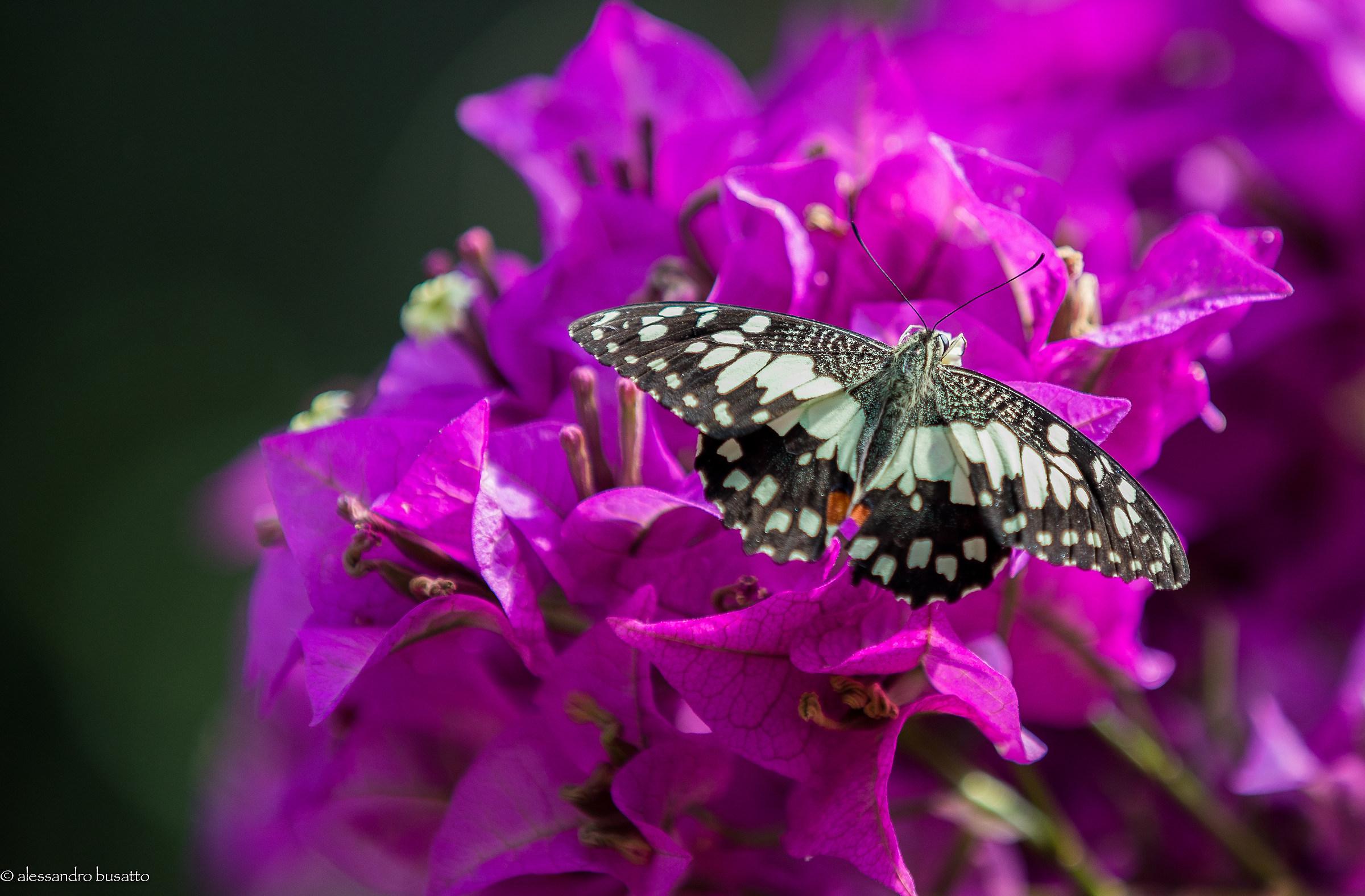Butterfly 1...
