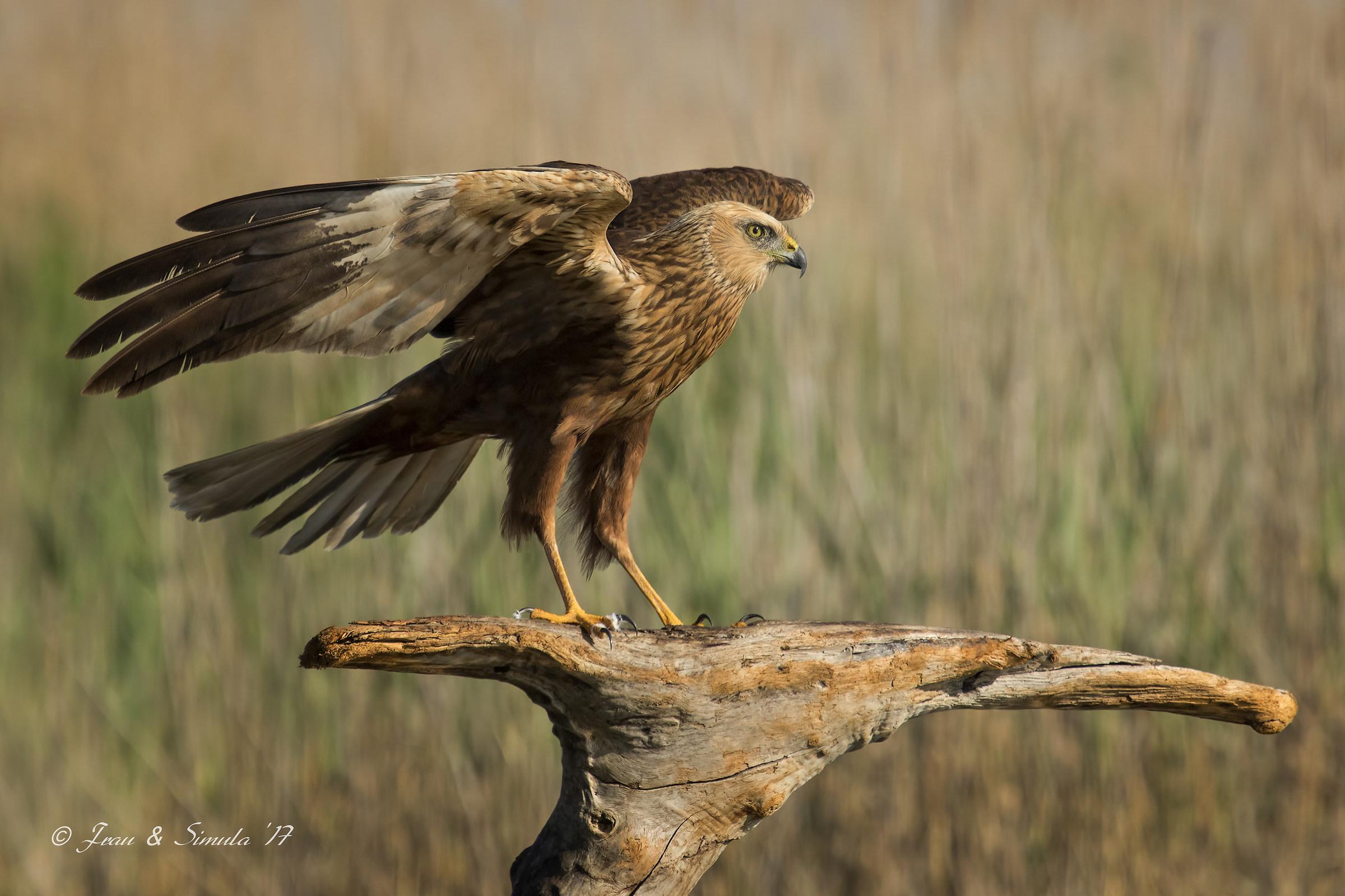 Falco di palude (maschio adulto)...