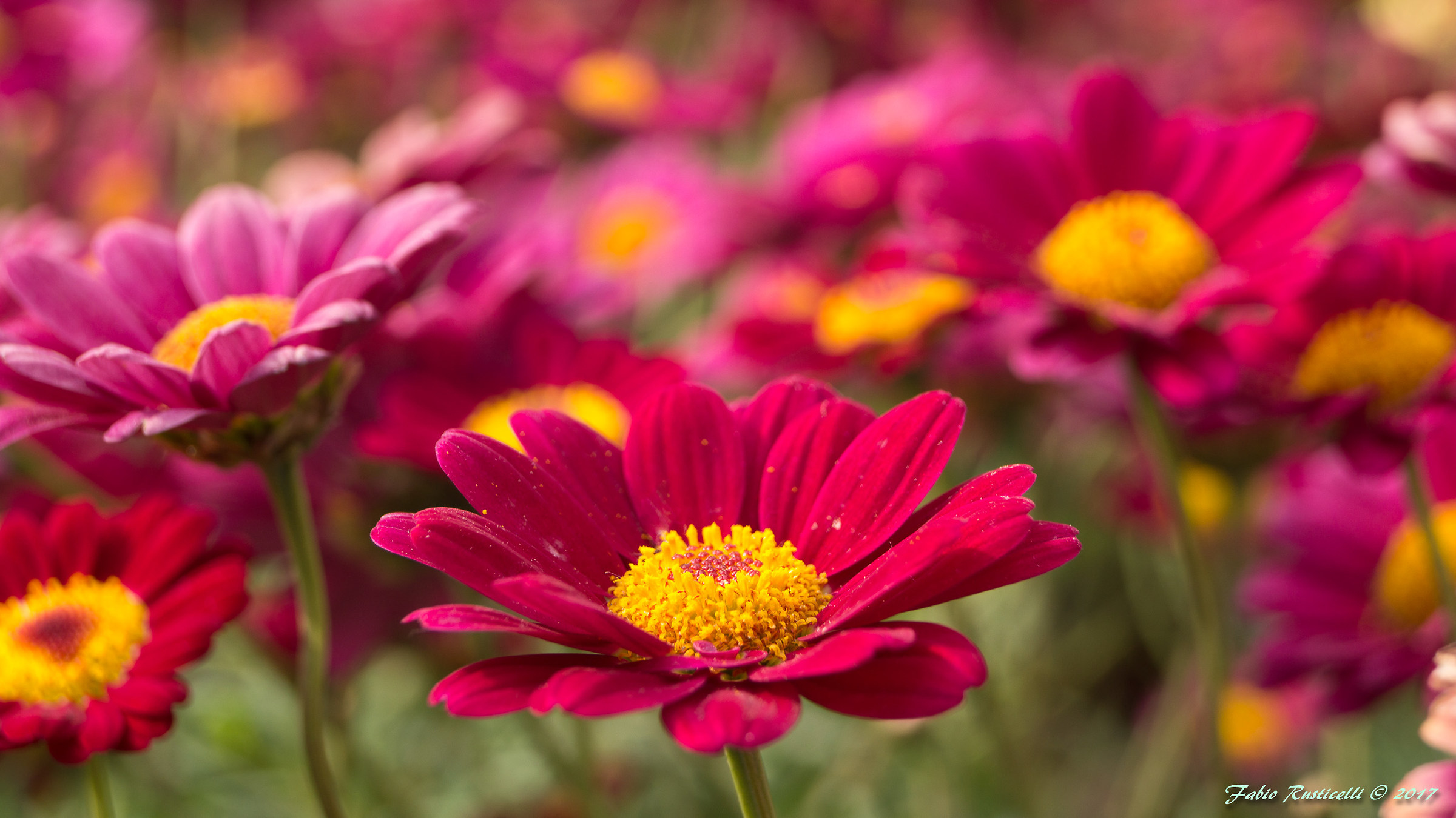red Daisies...