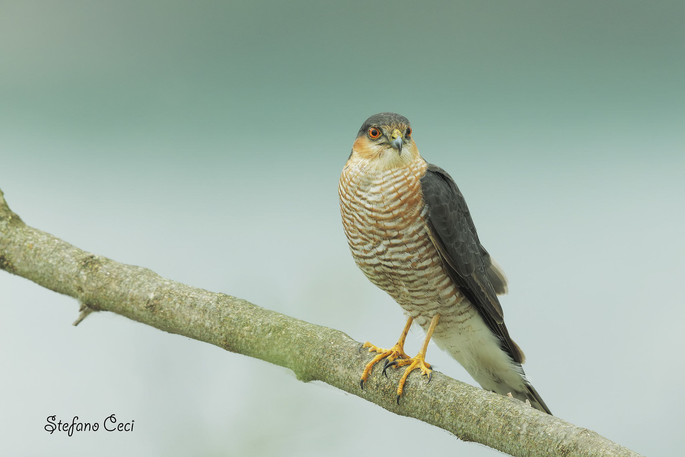 Hawk Male...