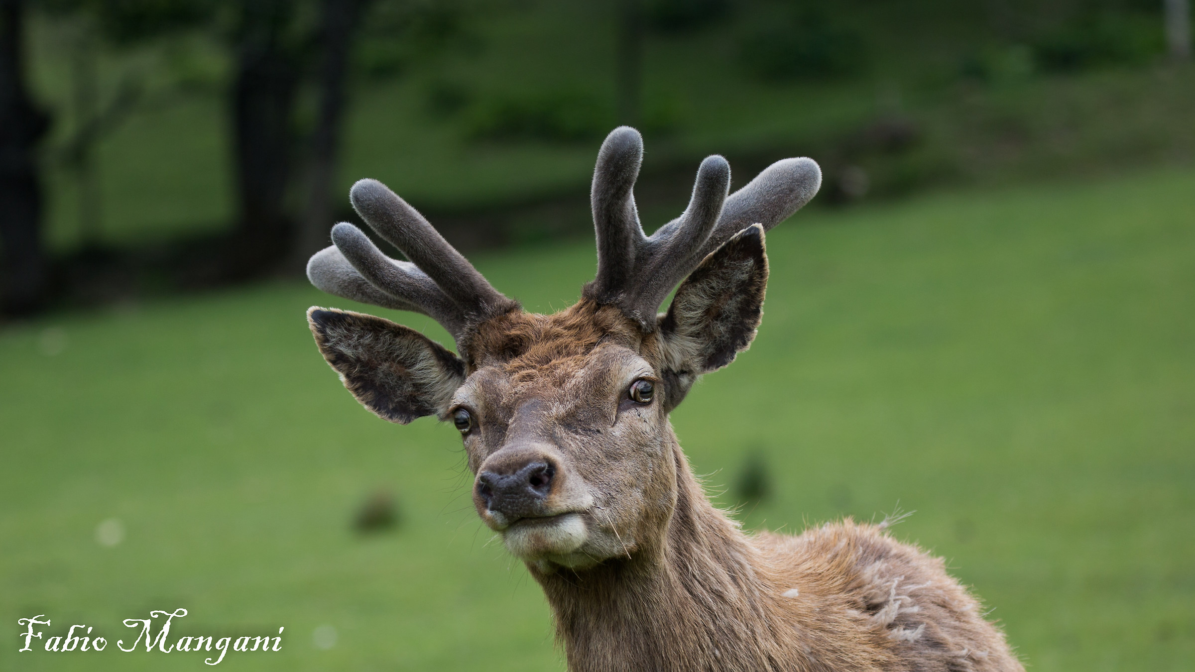 Male deer with velvety horns only at the beginning...