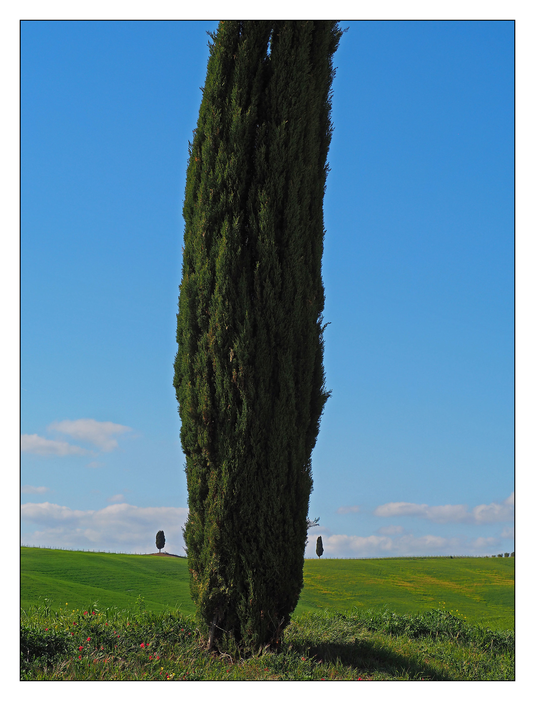 Cypresses in the Val d'Orcia...