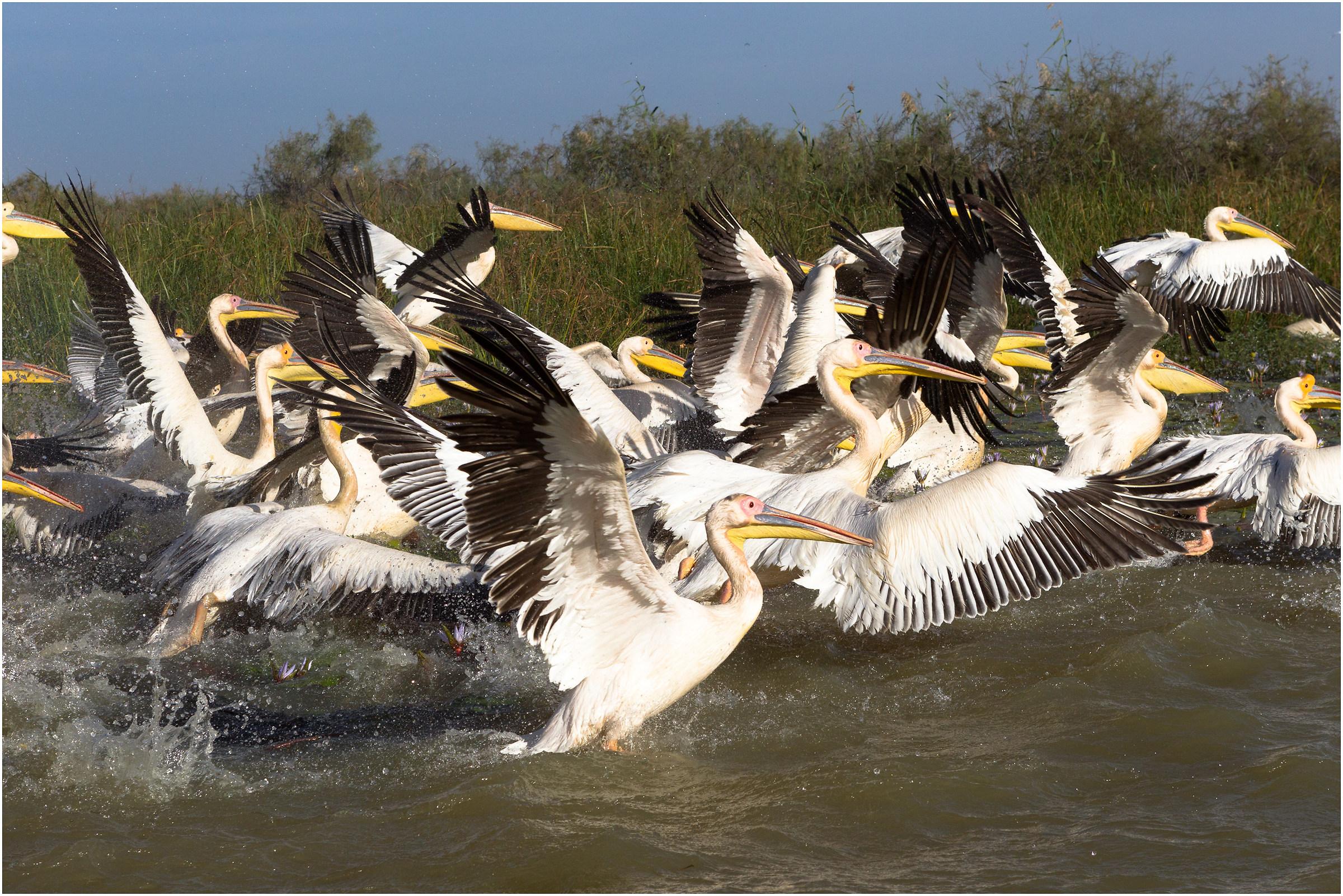 In mezzo ai pellicani del Senegal...