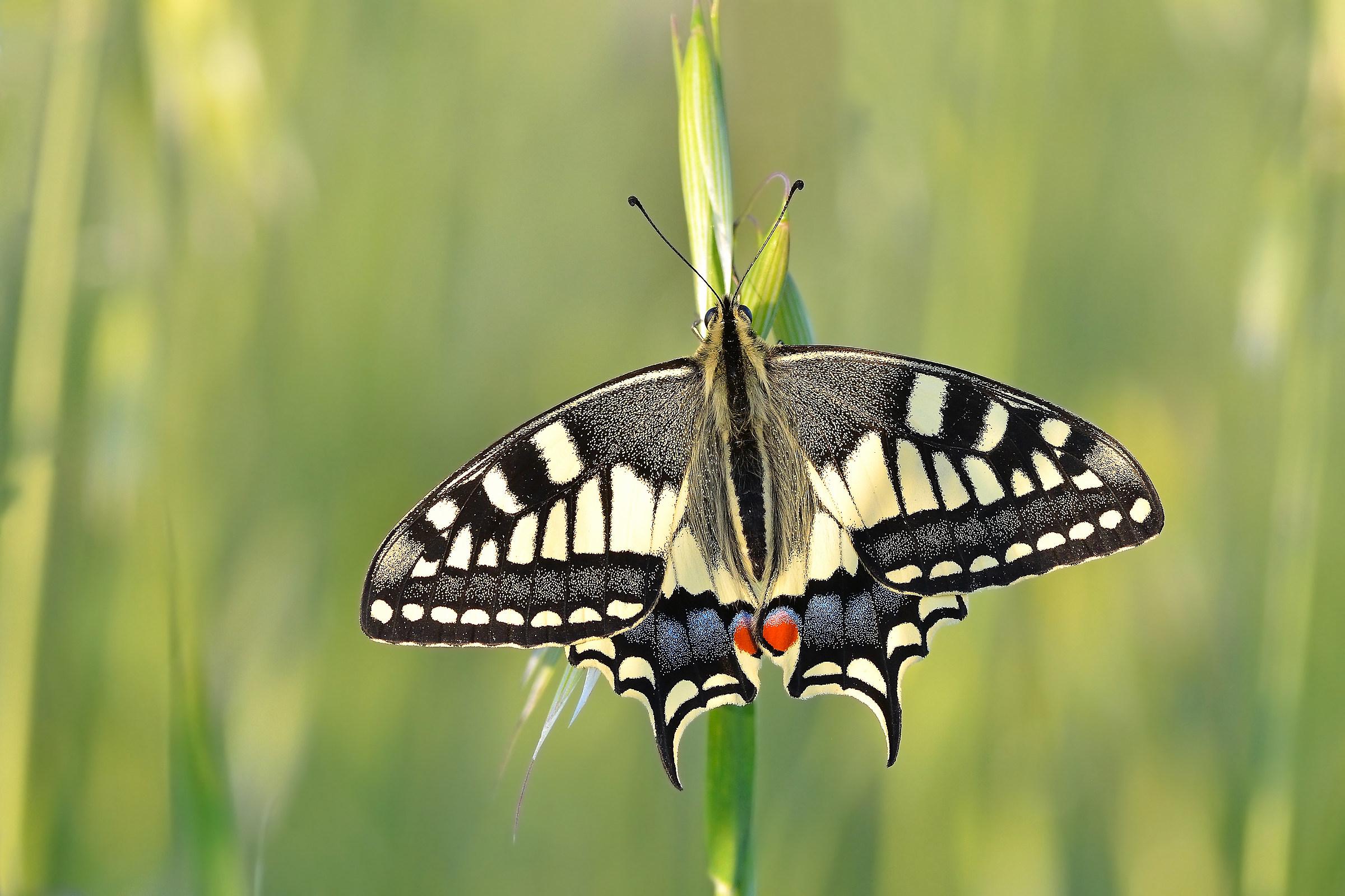 "Macaone ""Papilio machaon""..."