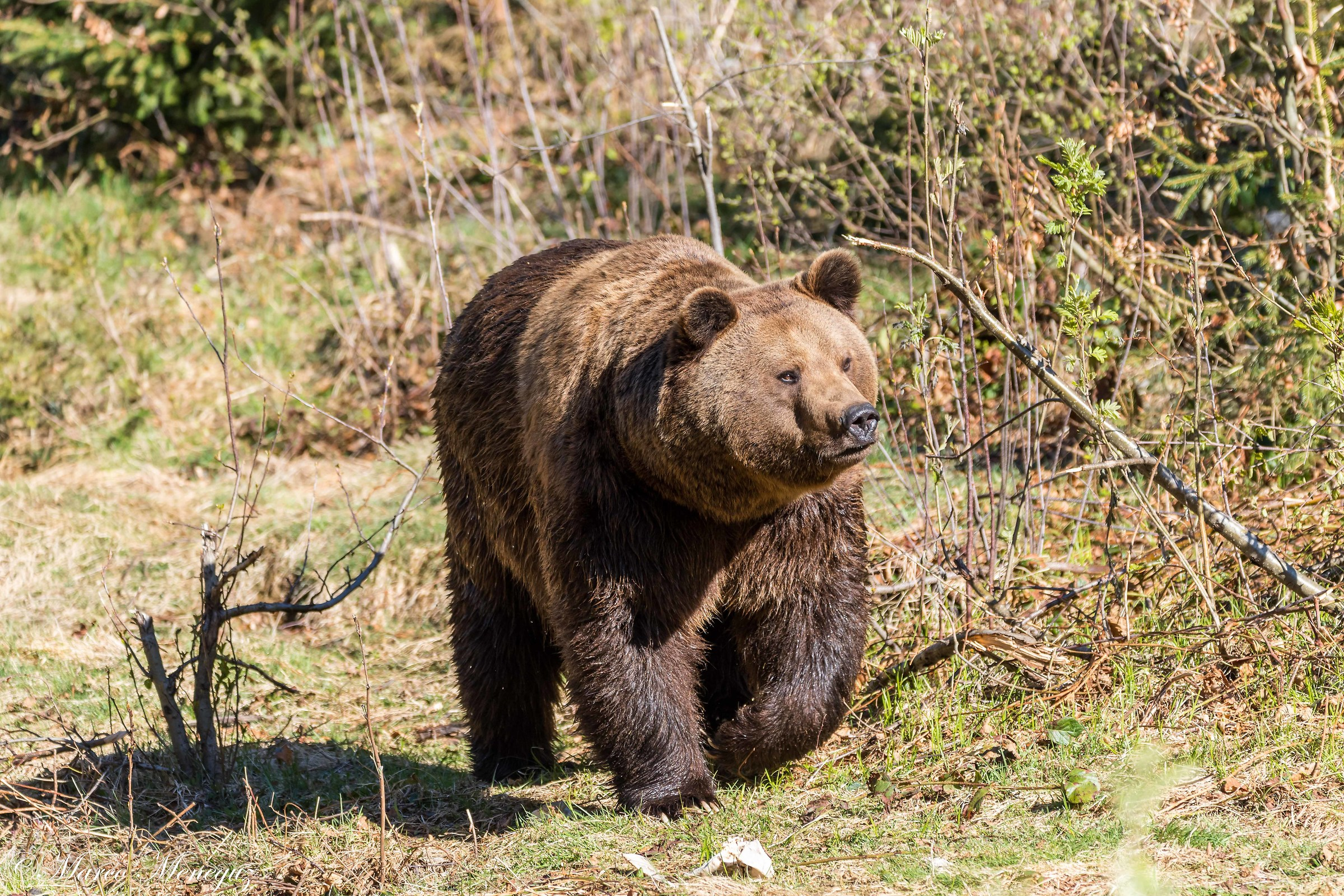 Bear on awakening...