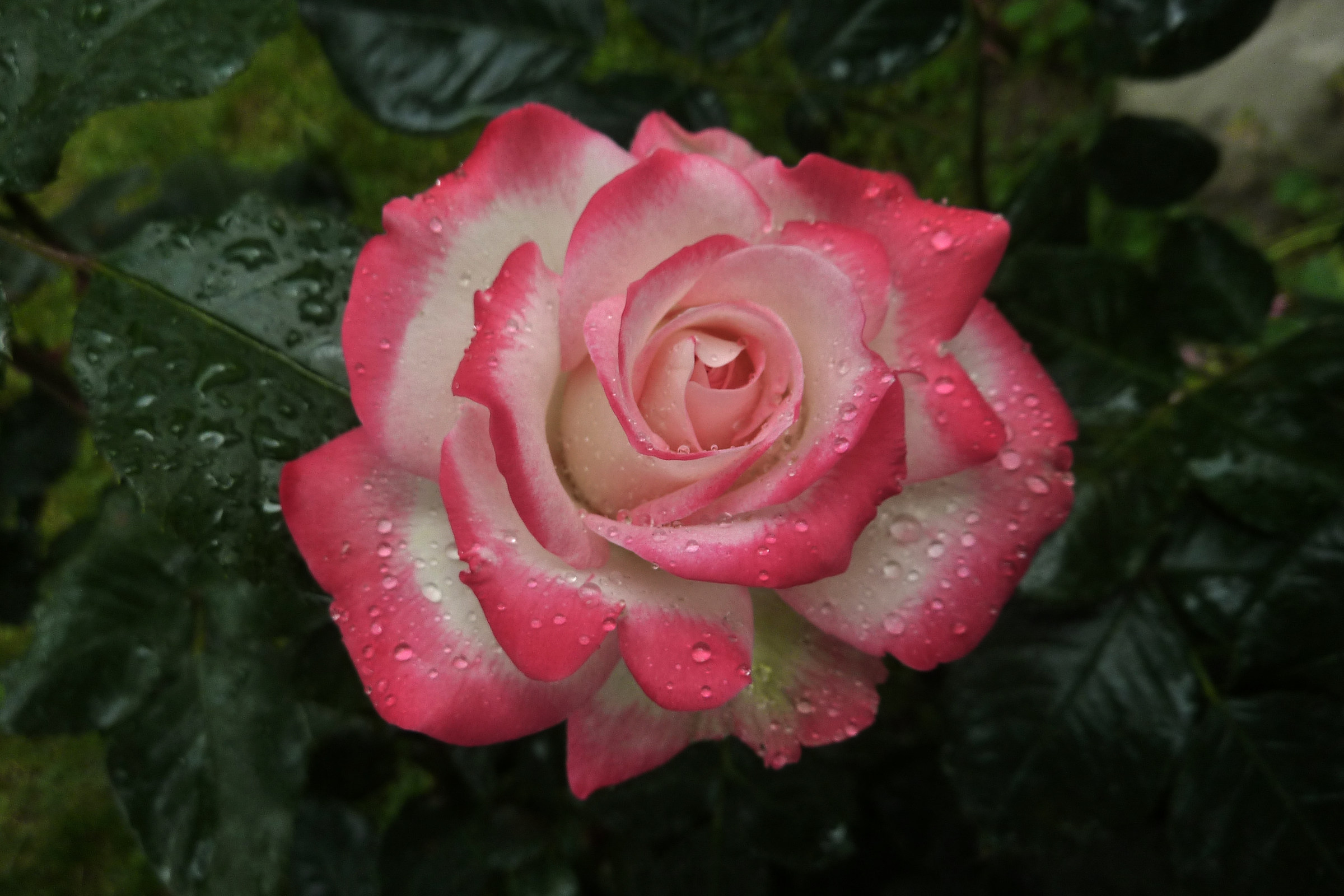 Pink shy...