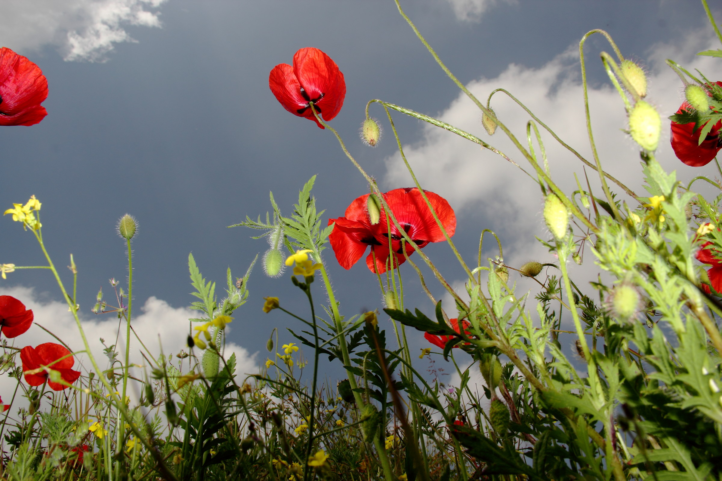 The poppies are tall....