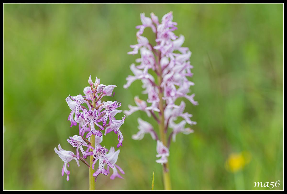 Orchid of Monte Baldo...