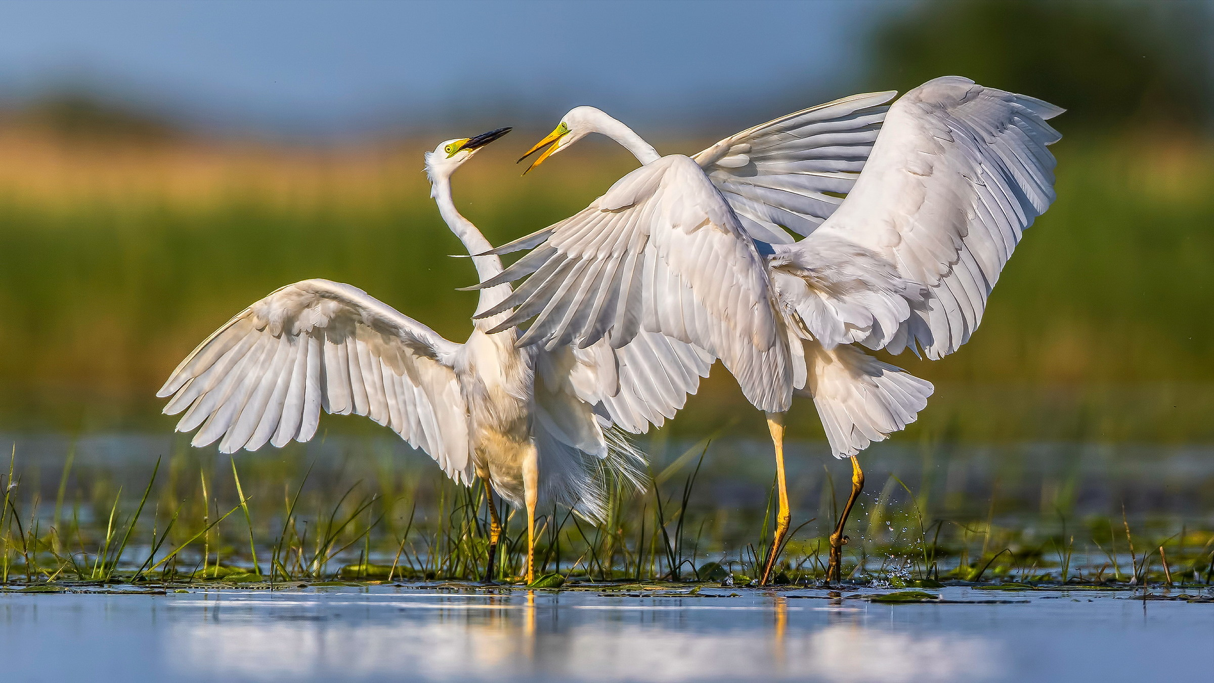 Great White Egret (Egretta alba)...