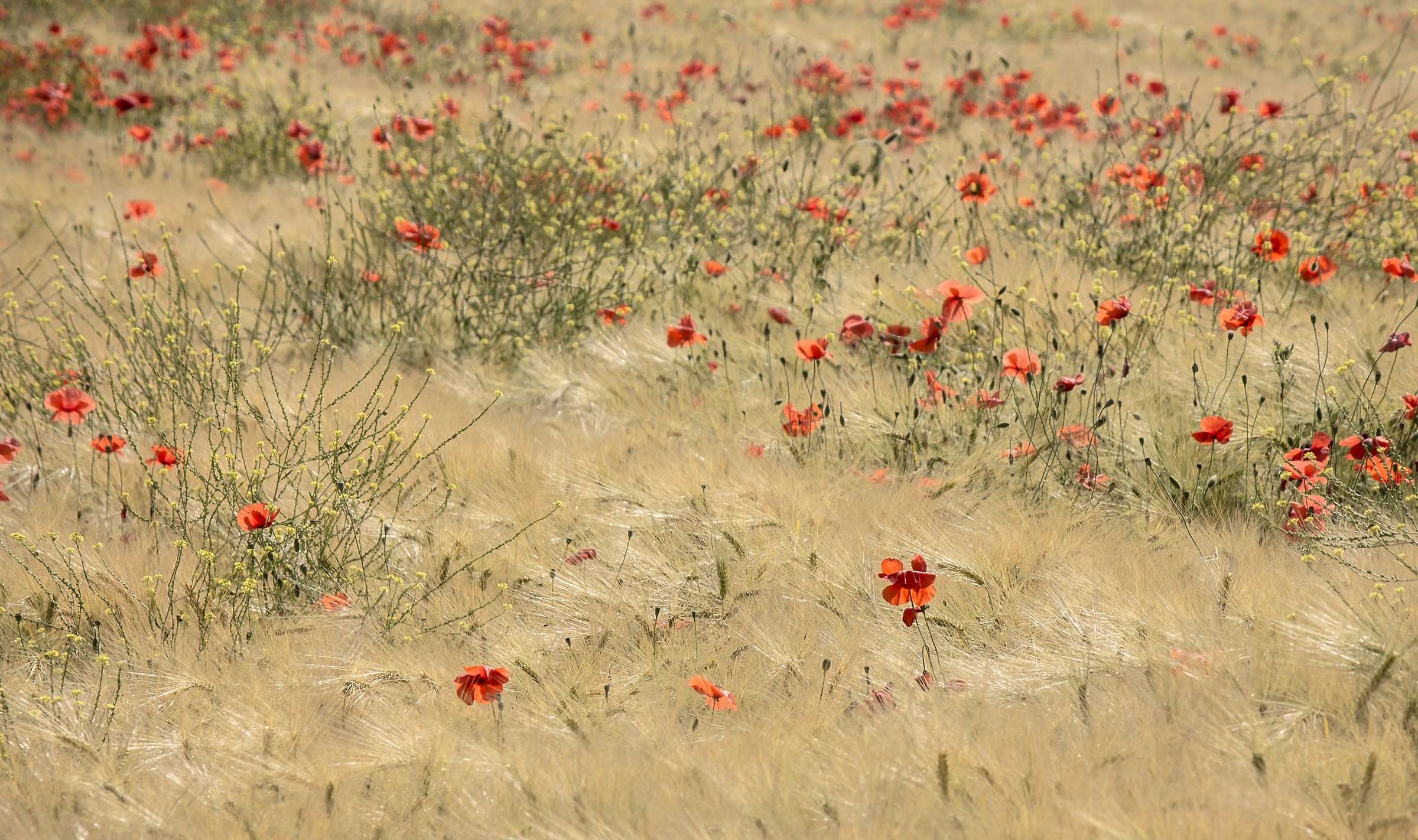 Poppies and grain...