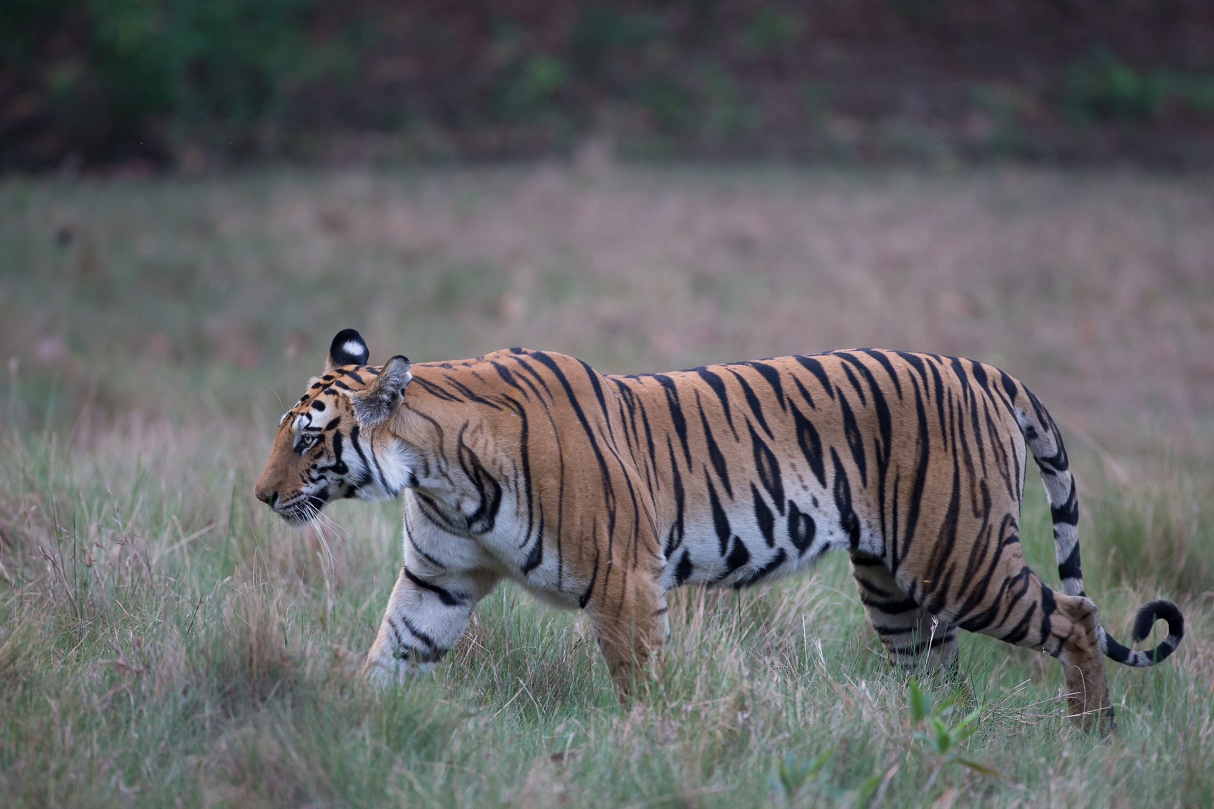 Bengal Tiger on the move...
