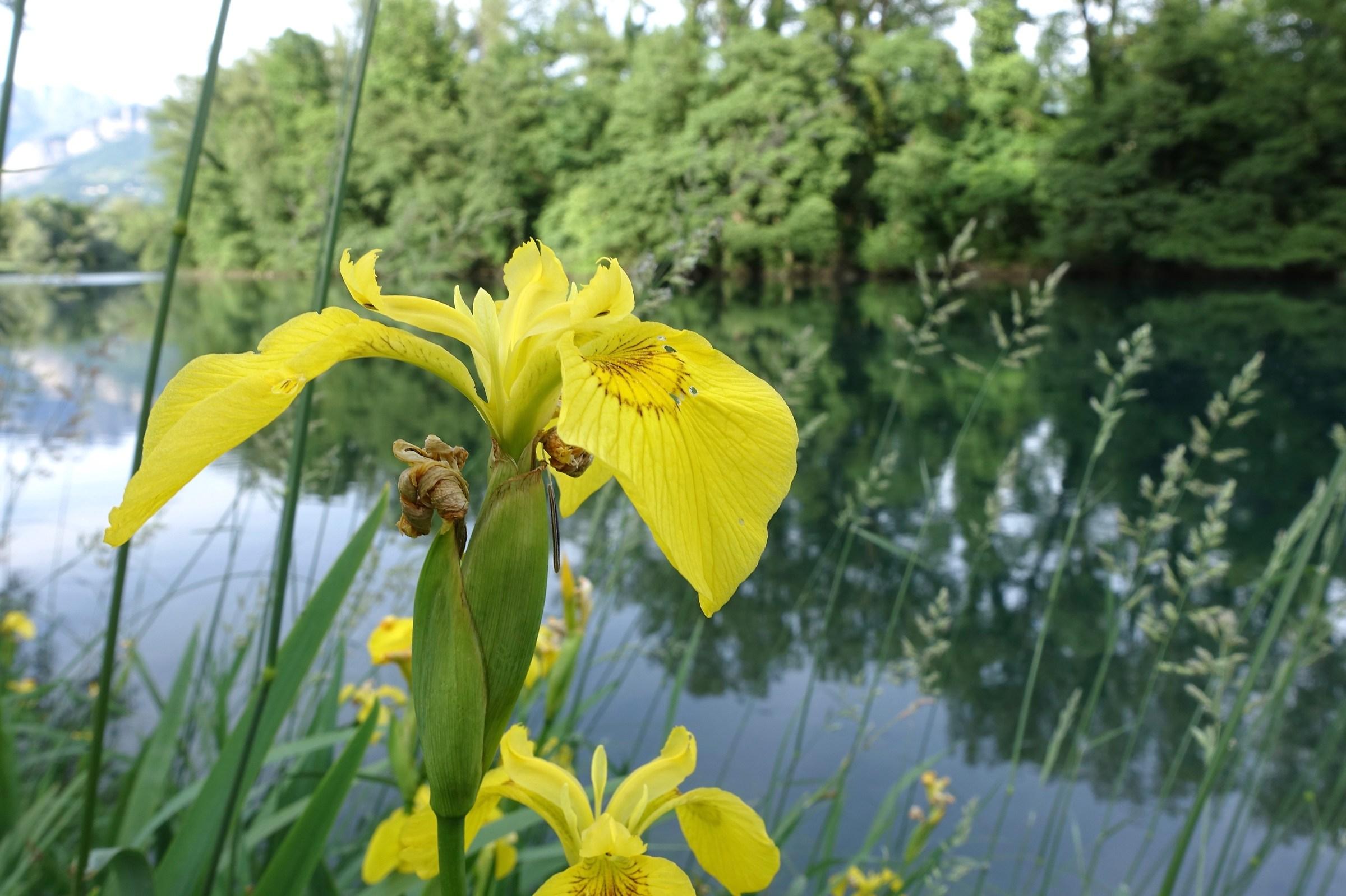 Iris di fiume 2...