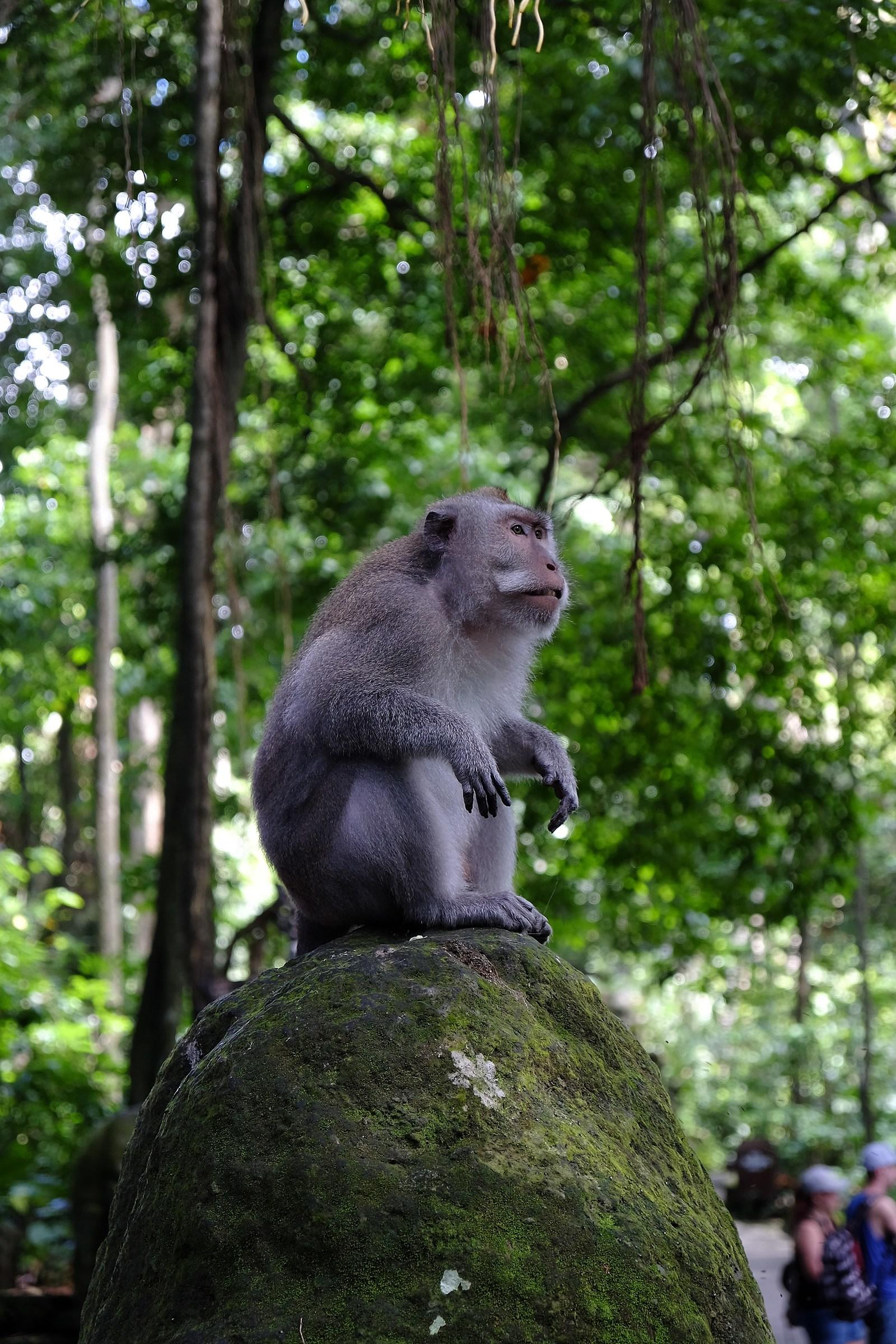 Old monkey in Ubud...