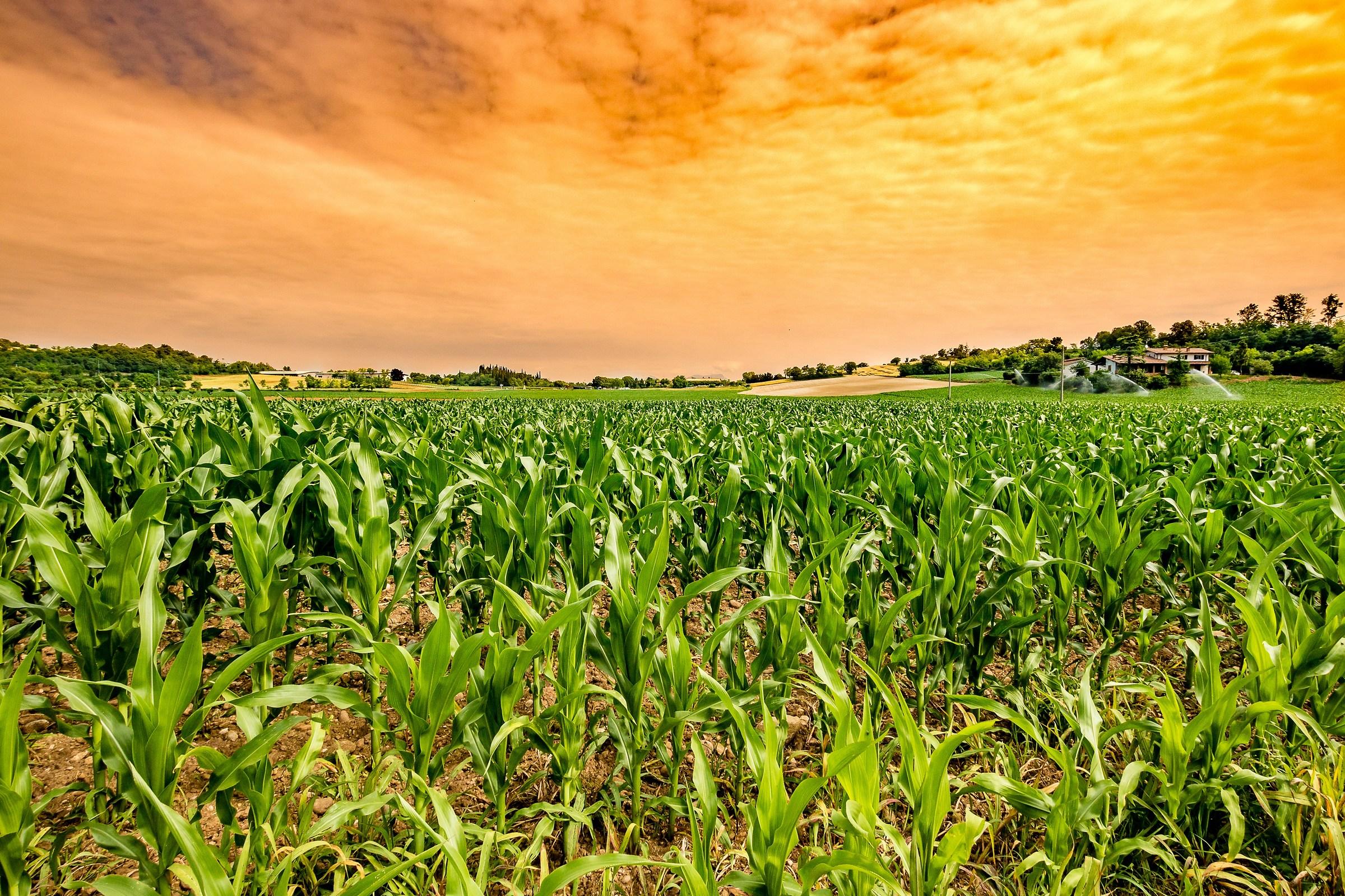 Che ne sai tu di un campo di grano...