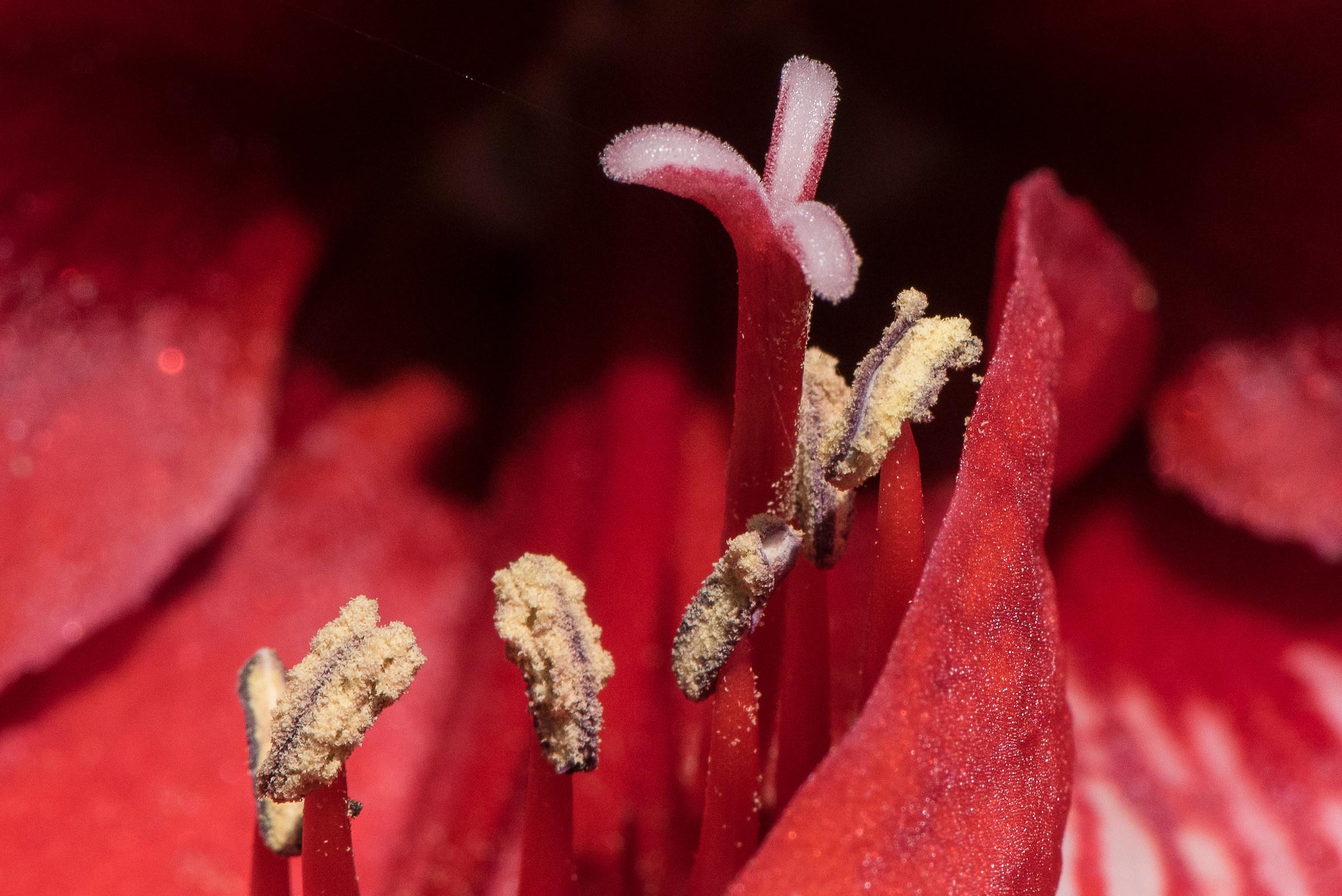 Amarillo, inside, pollen ready to disperse...