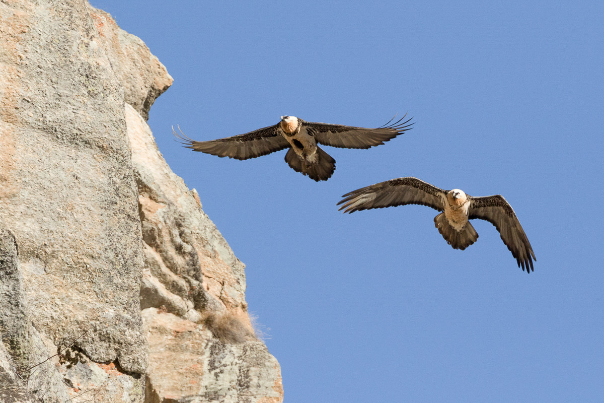 bearded vulture...