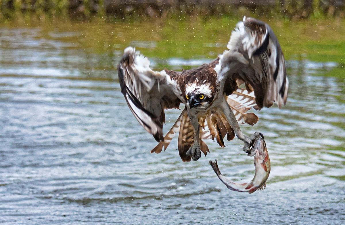 Osprey fishing...
