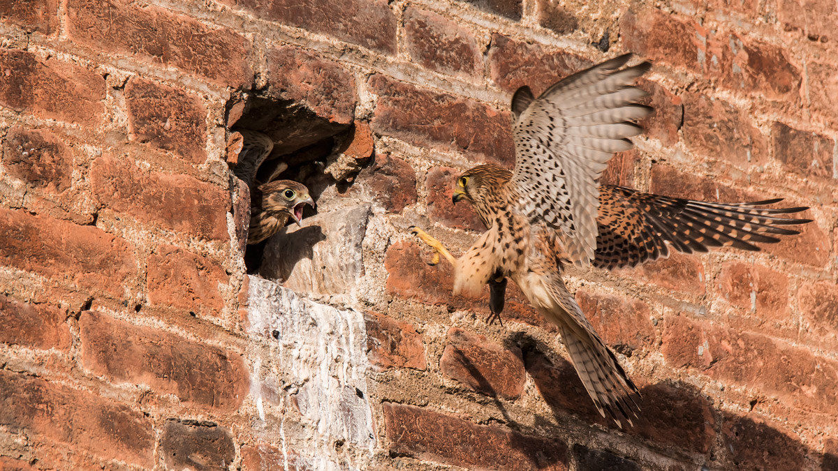 Kestrel with prey x his little one...
