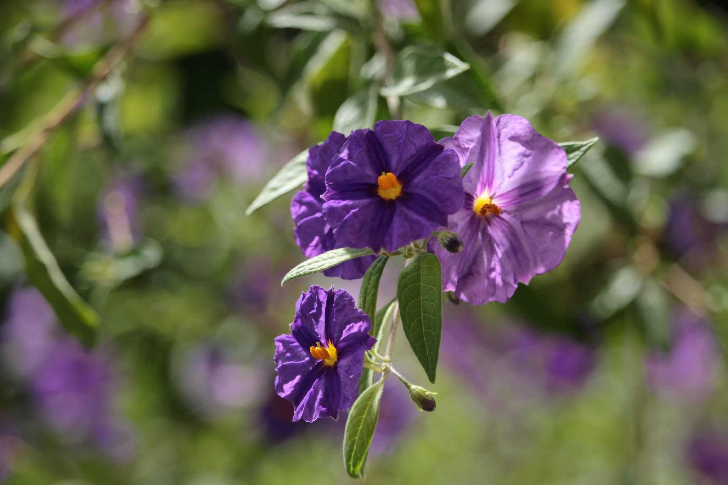 Violet bell...