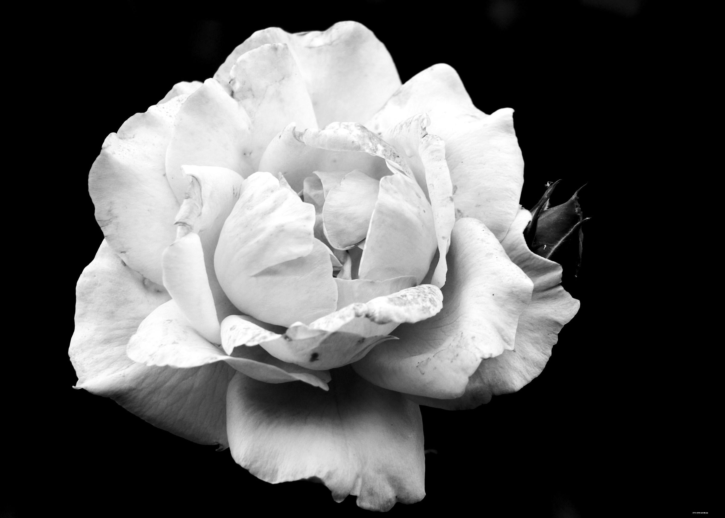 Rose of June...