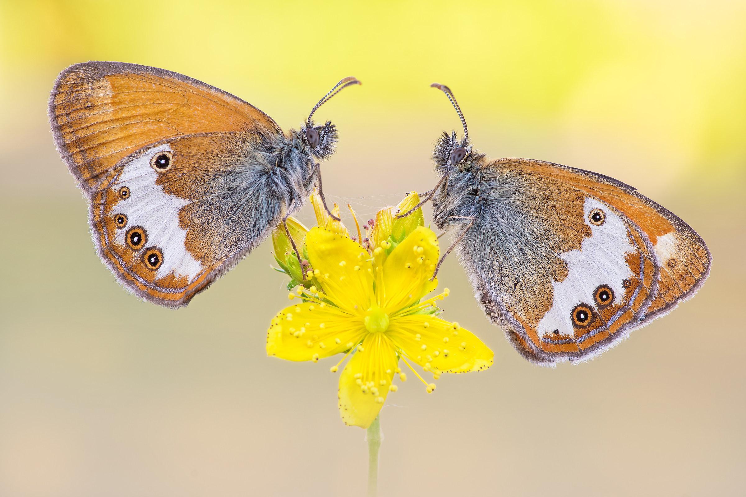 Couple of Coenonympha arcania...