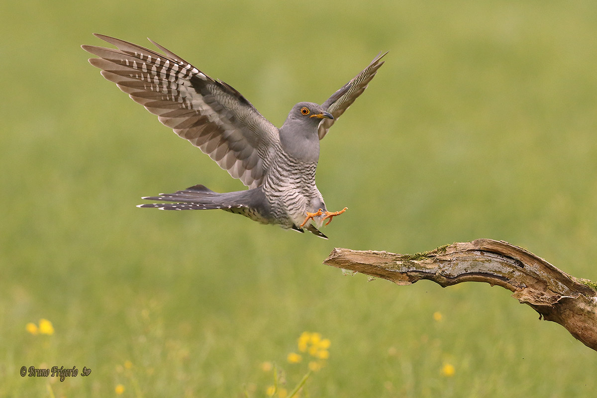 Cuckoo coming...