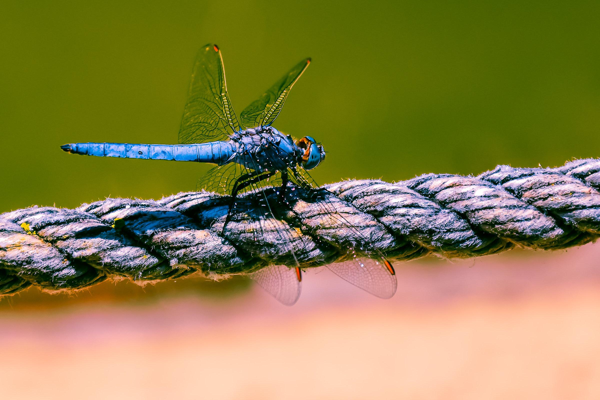 Blue dragonfly...