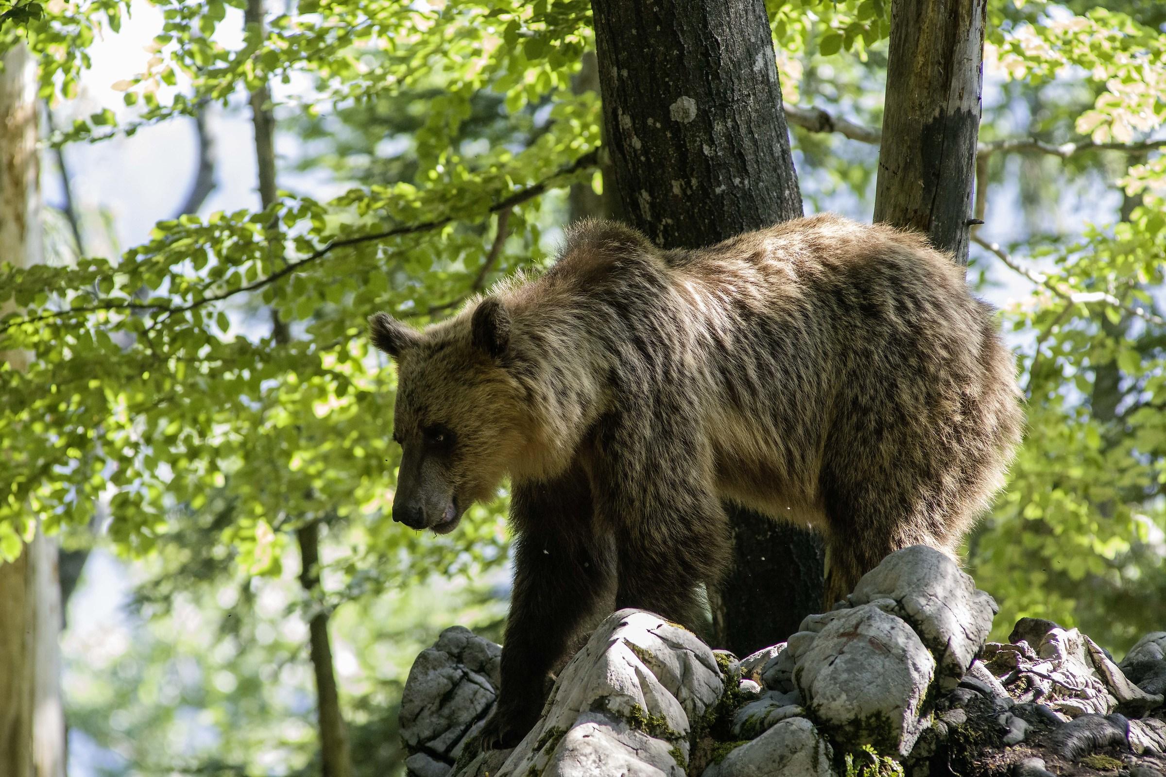 Bear Slovenia 2...