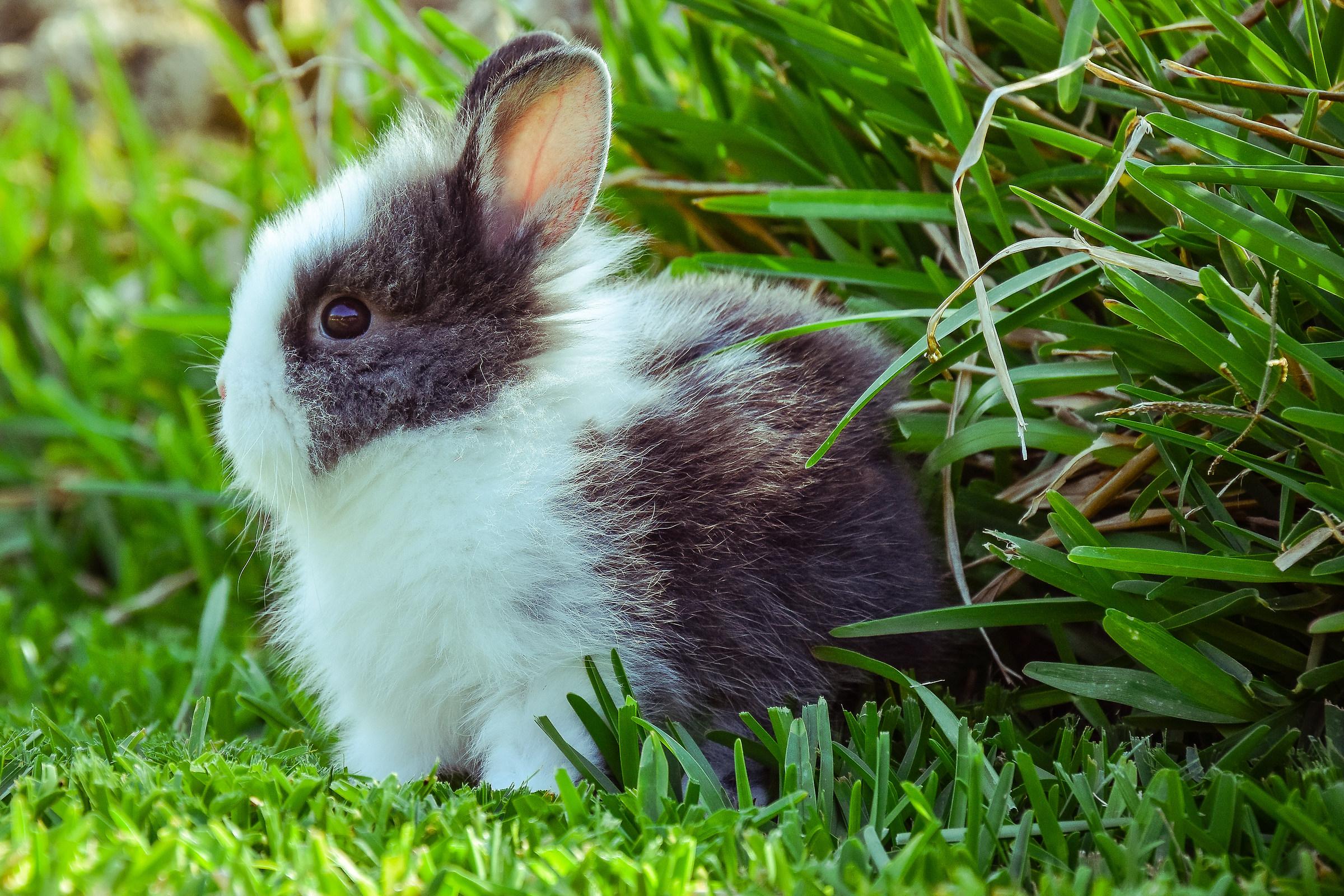 Dwarf rabbit...