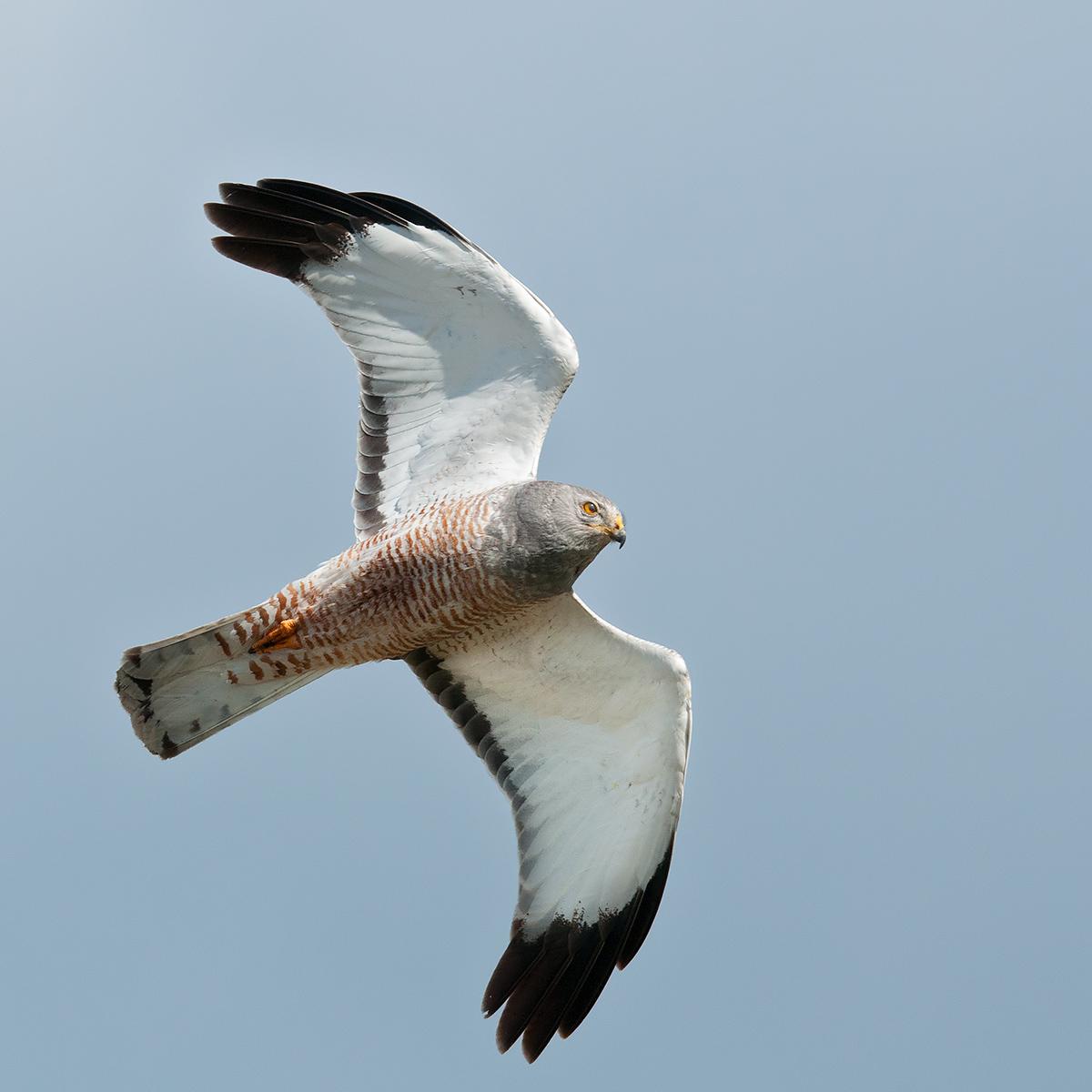 Male furry angella in flight...