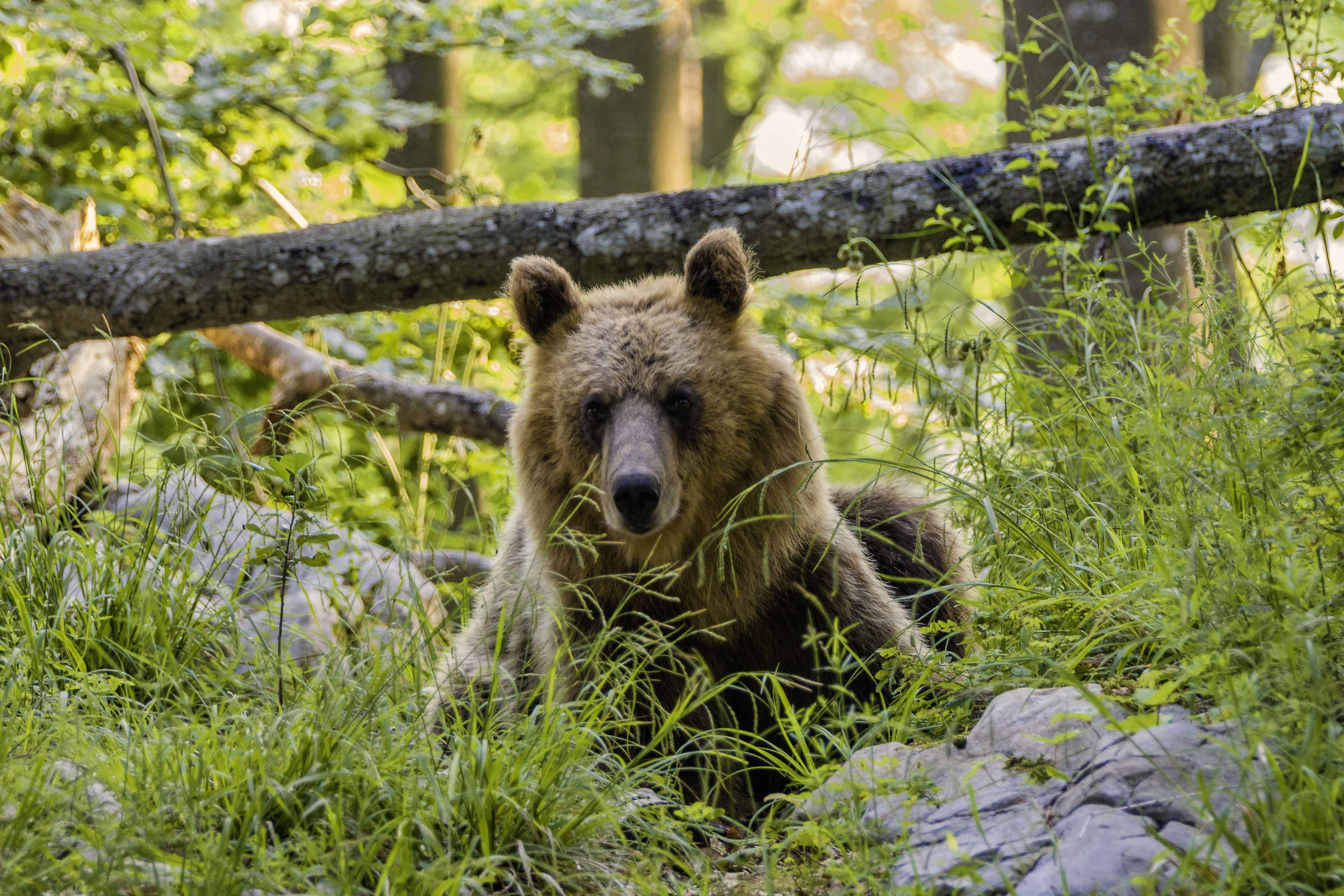Bear Slovenia 3...