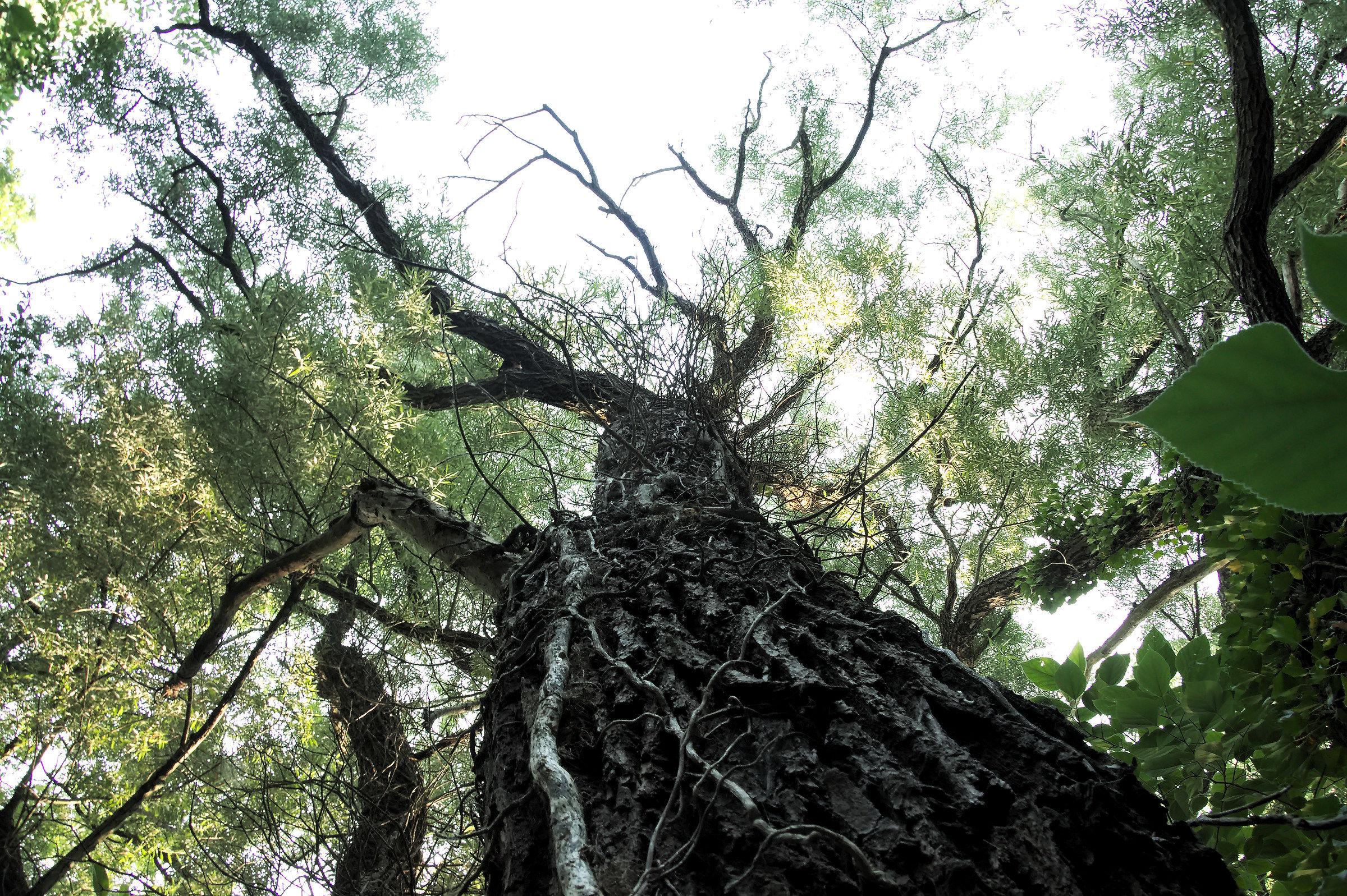 The tree...