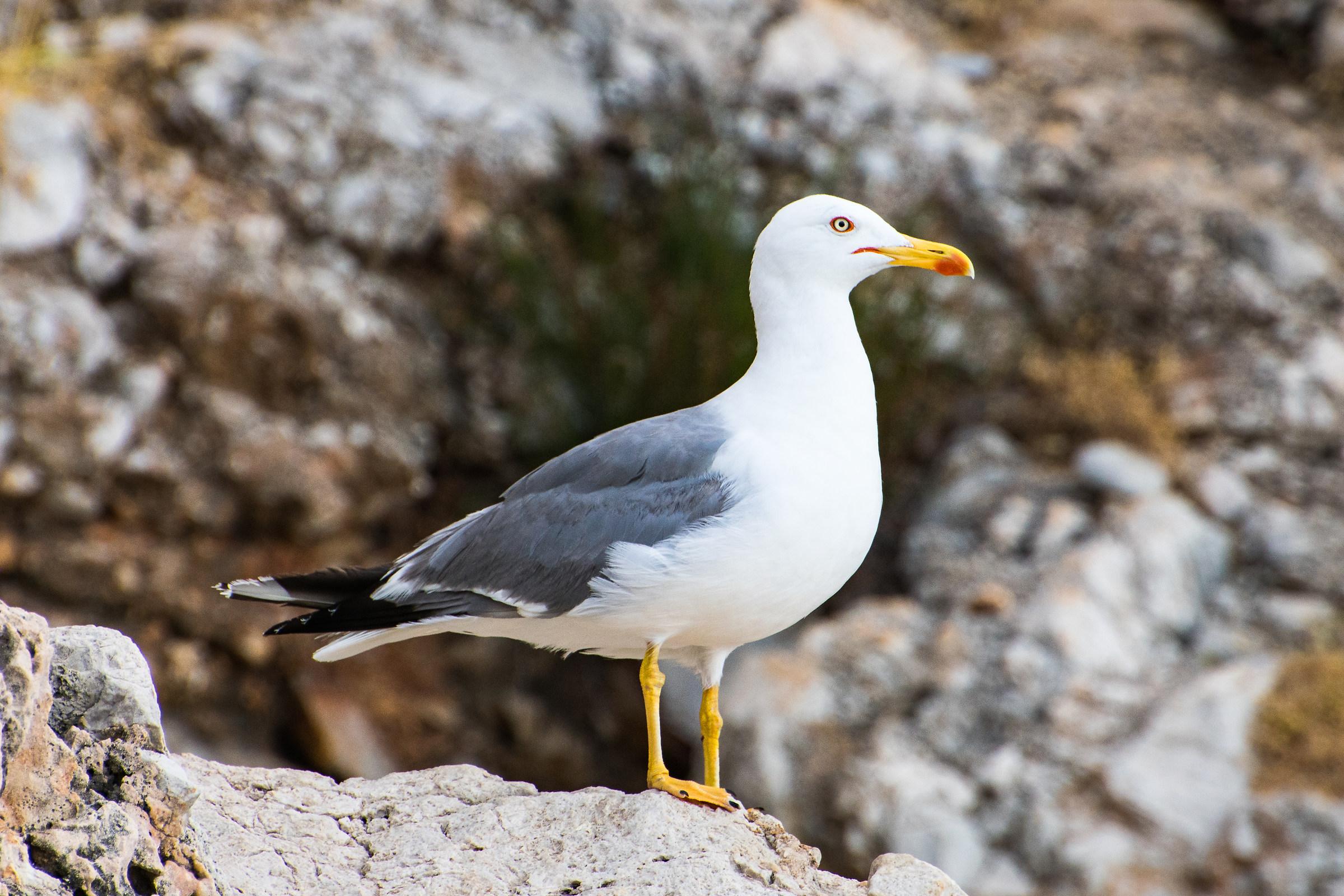 Gull in Cala Capreria...